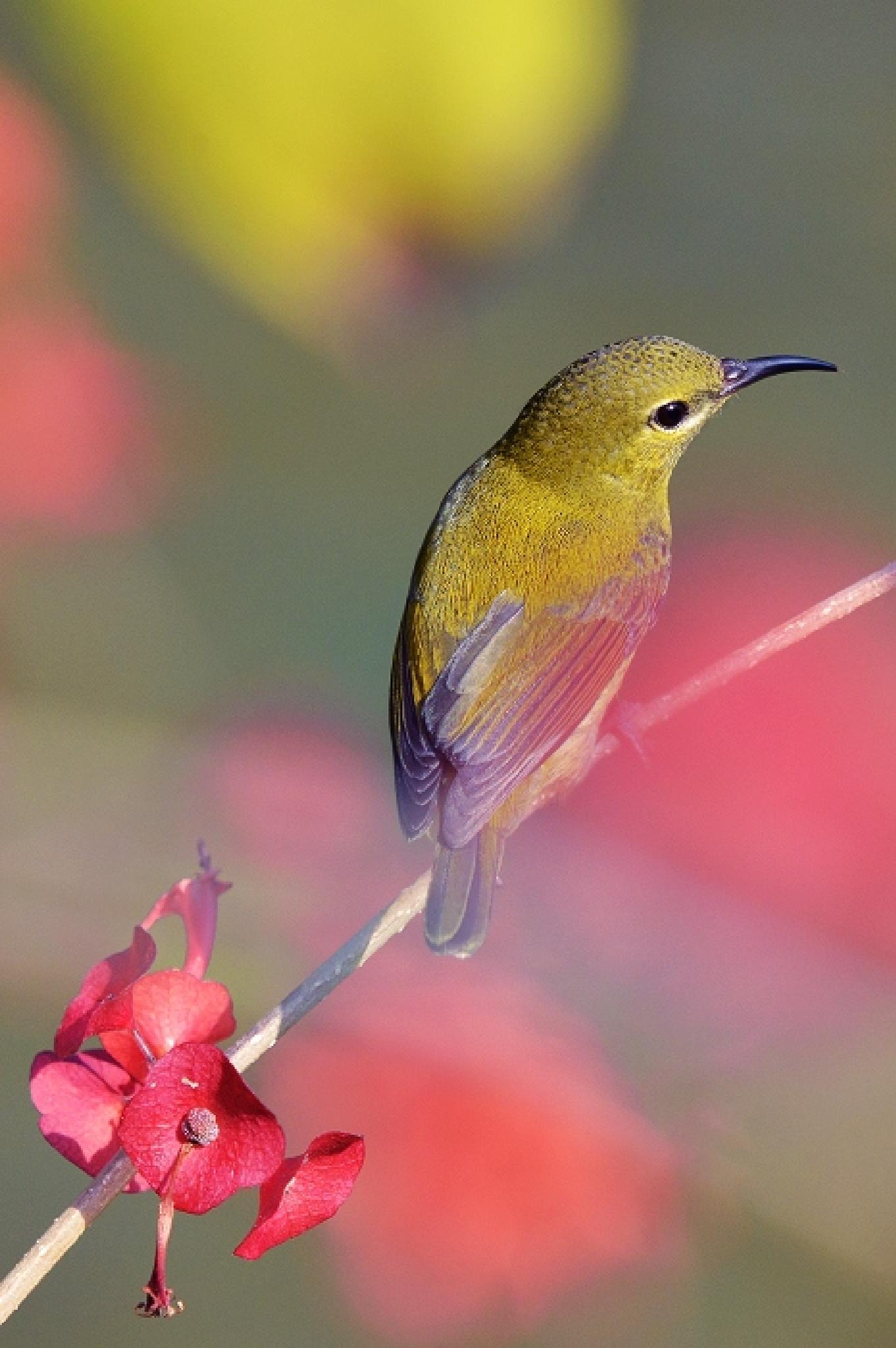 Fork-tailed Sunbird by colonelnikon