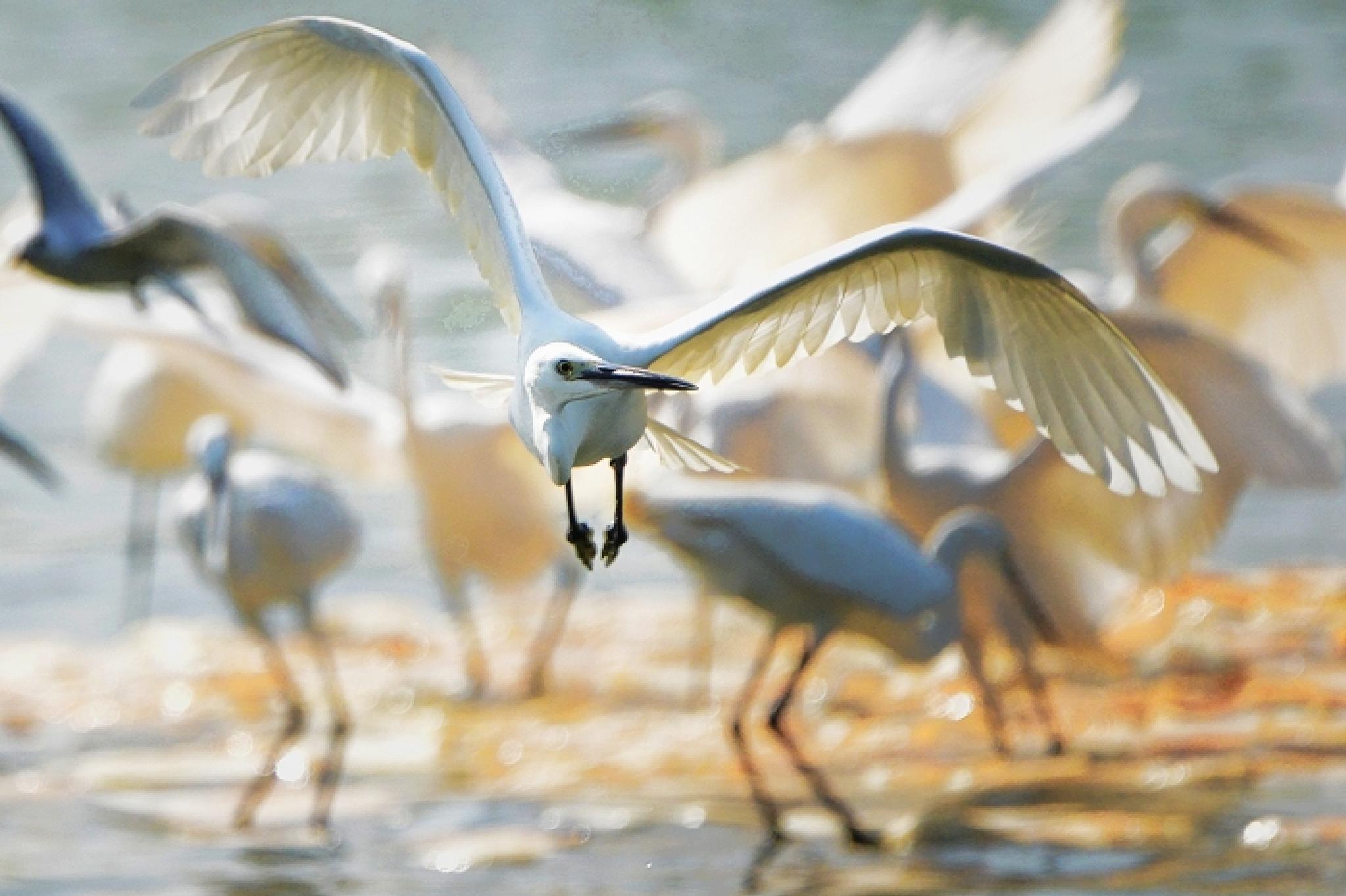 Little Egret by colonelnikon