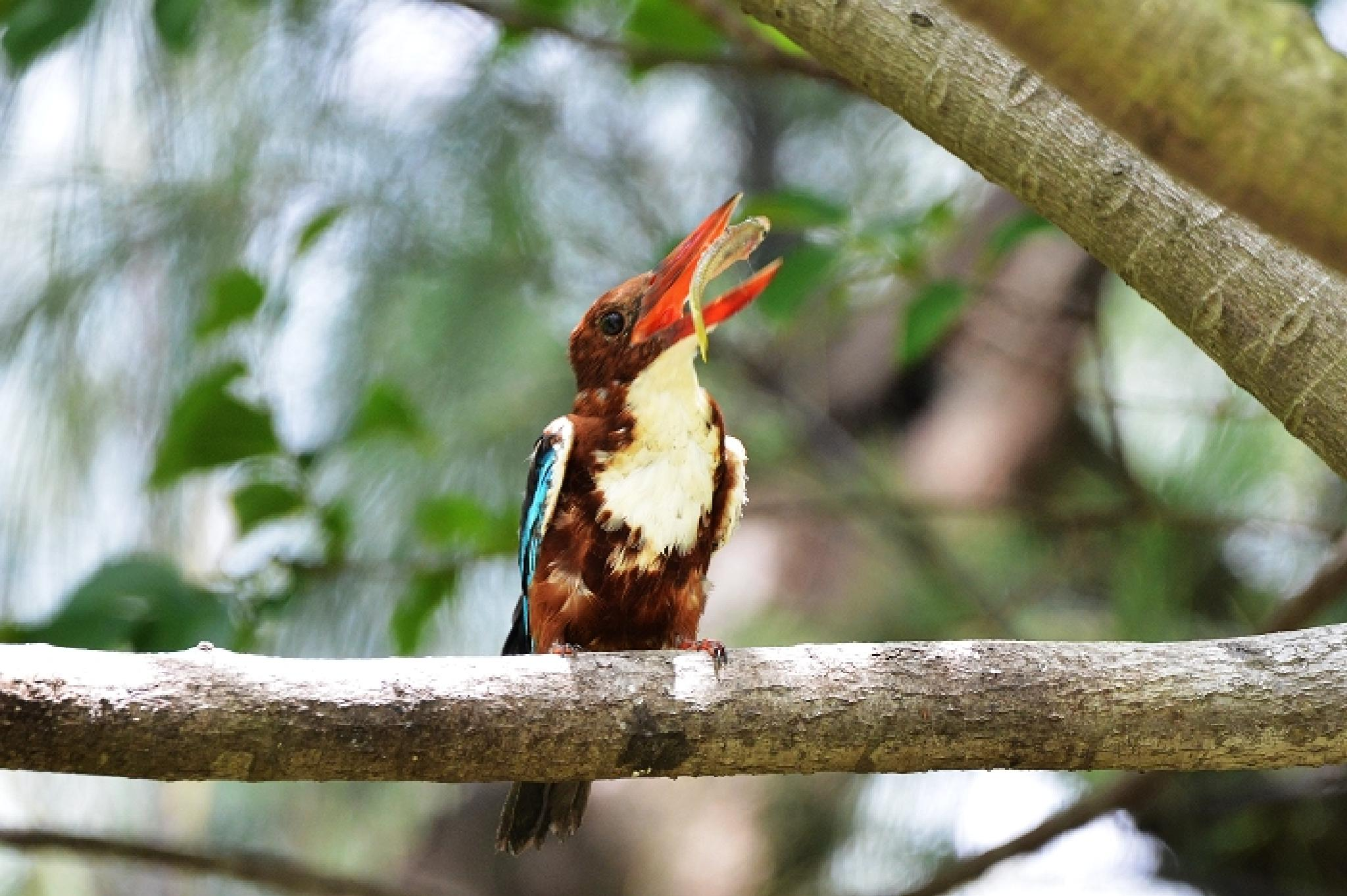 White-throated Kingfisher by colonelnikon