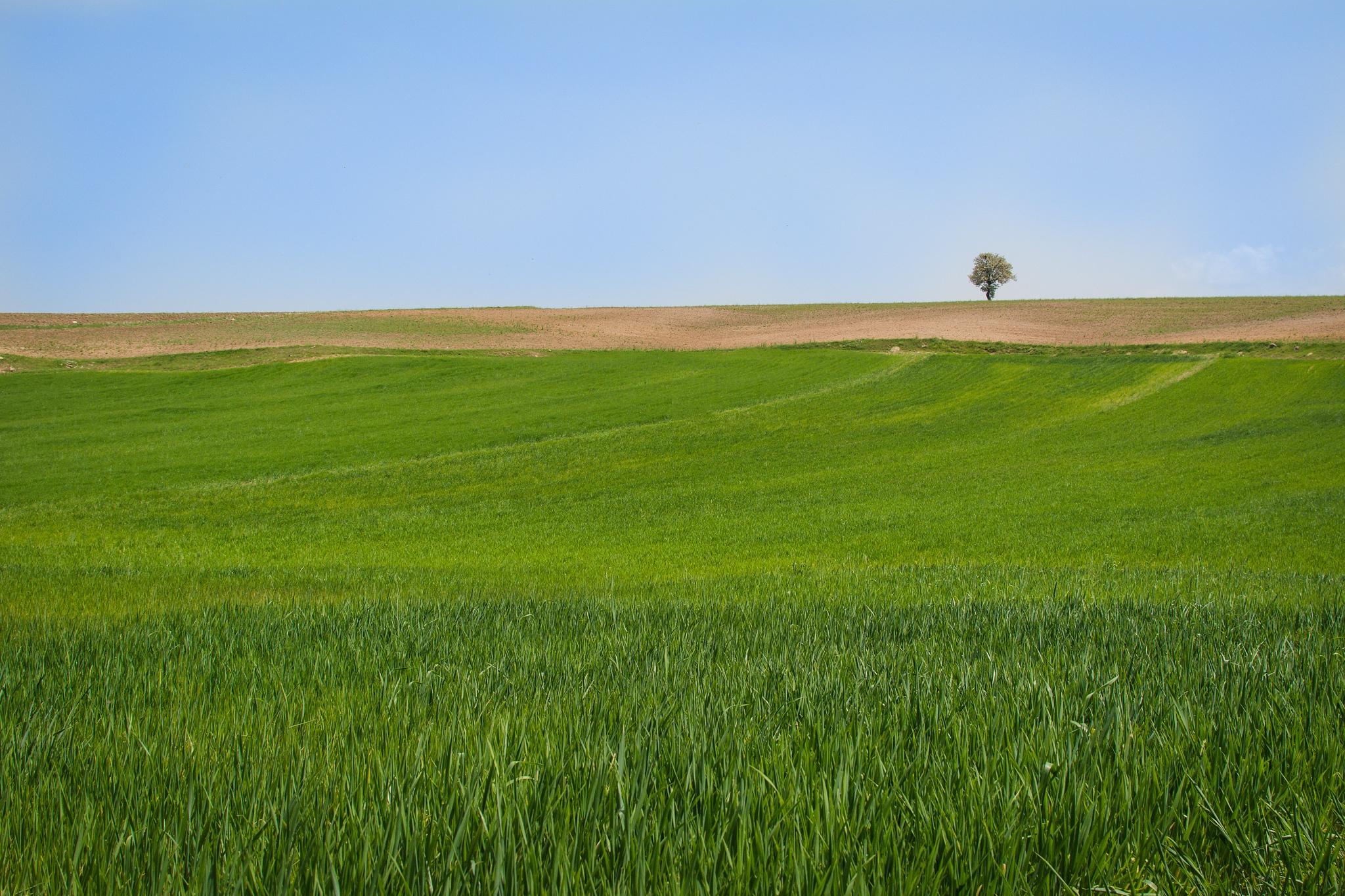 wheat field by Ahmet Topcu