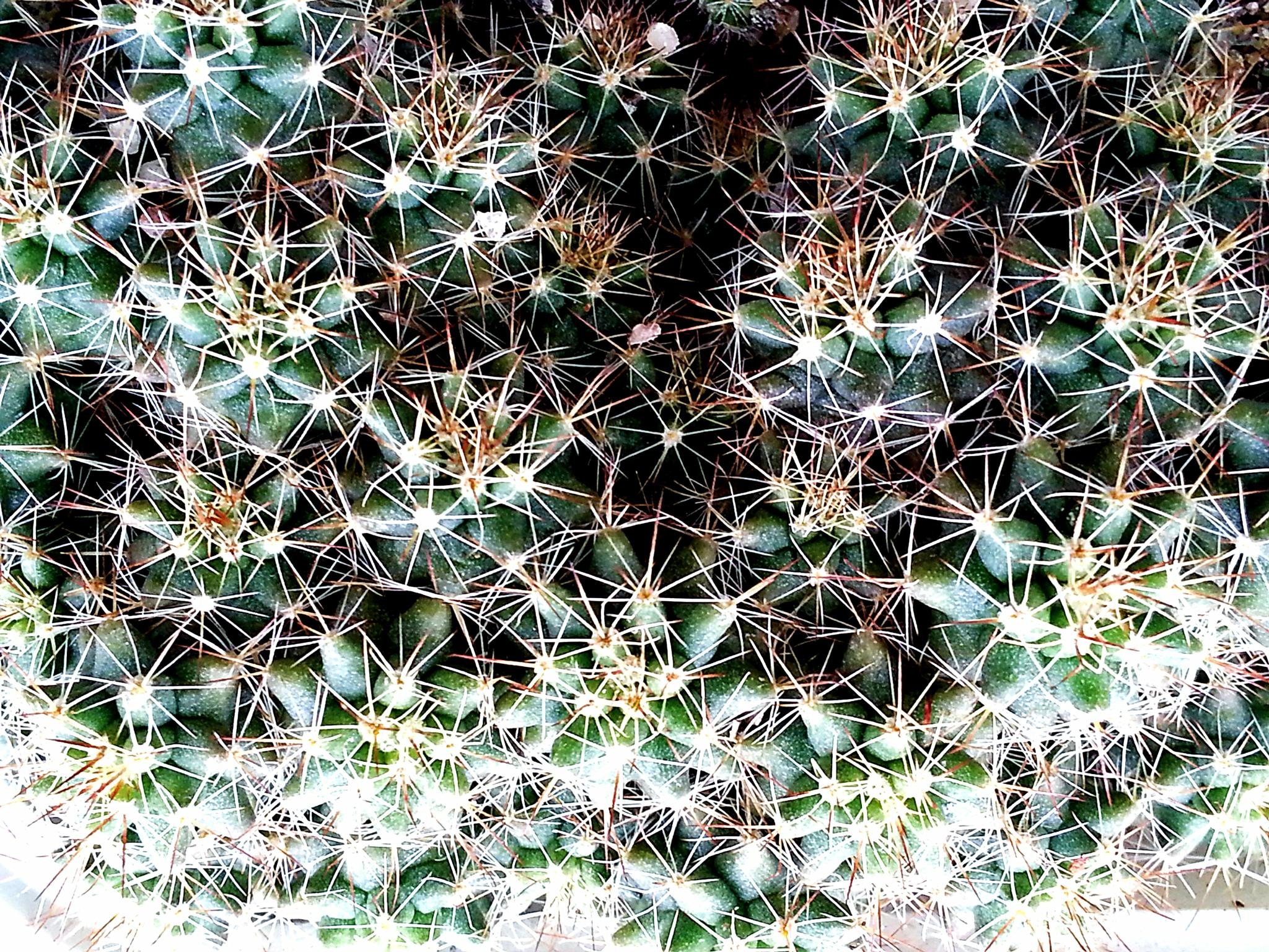Baby cactus by jaraswong