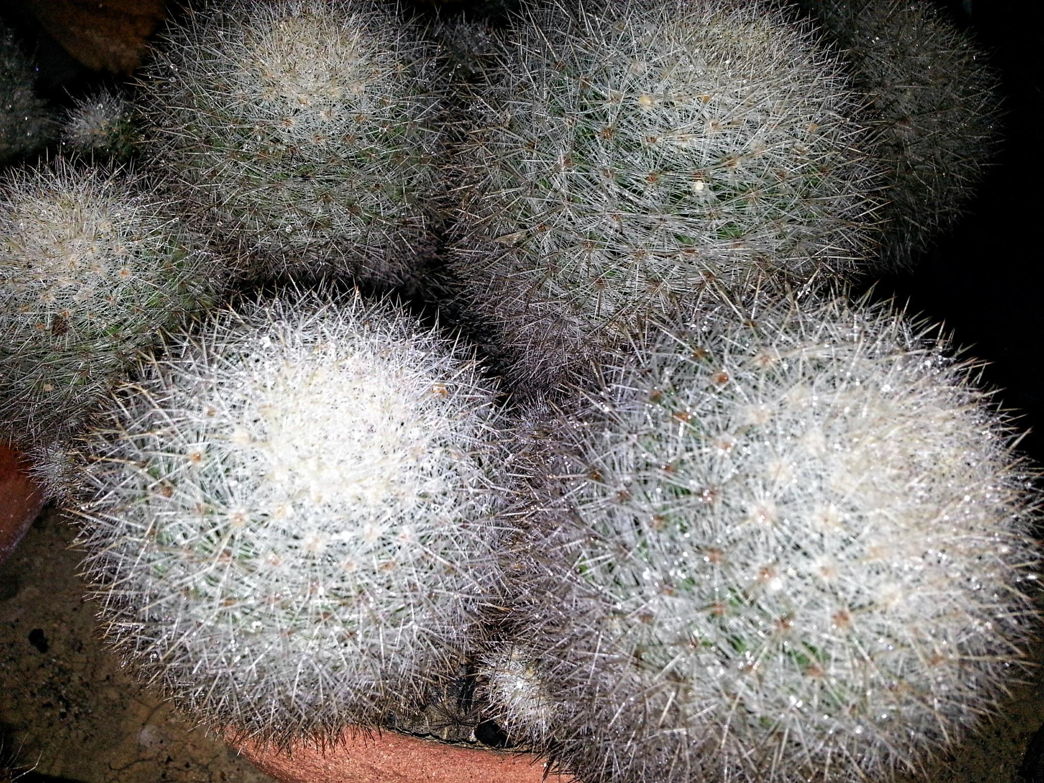 My cactus by jaraswong