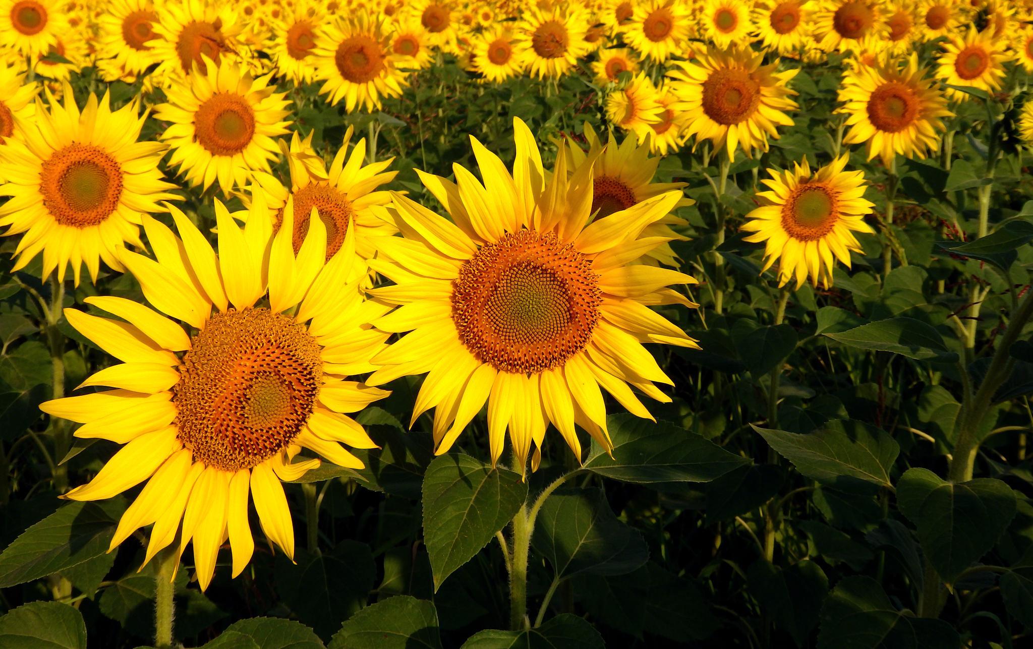 Photo in Nature #sunflower #field #green #nature #sun #flower