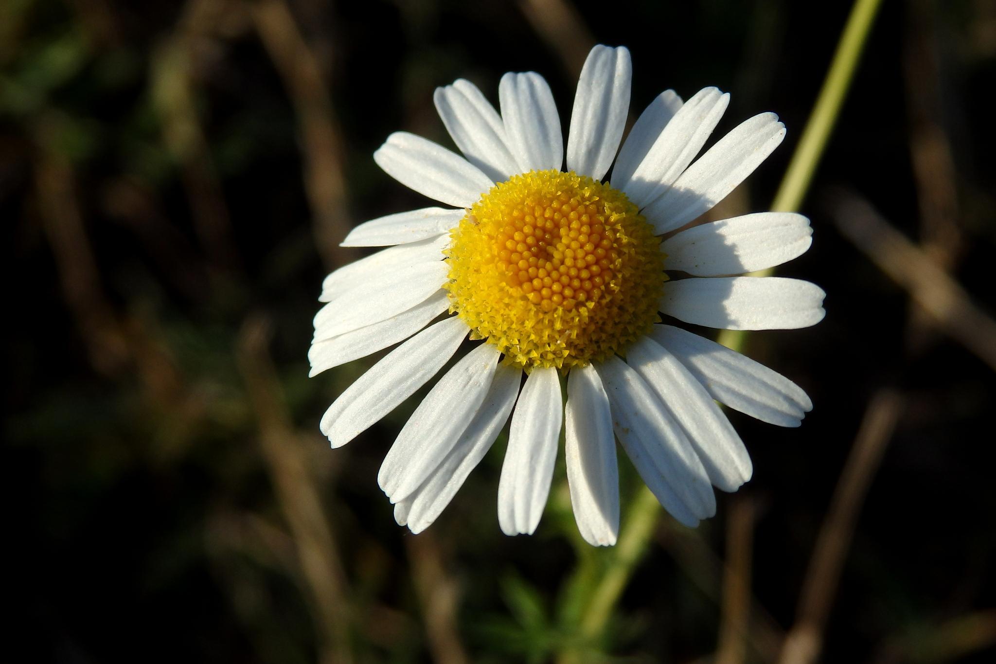 Daisy by AdrianIonescu
