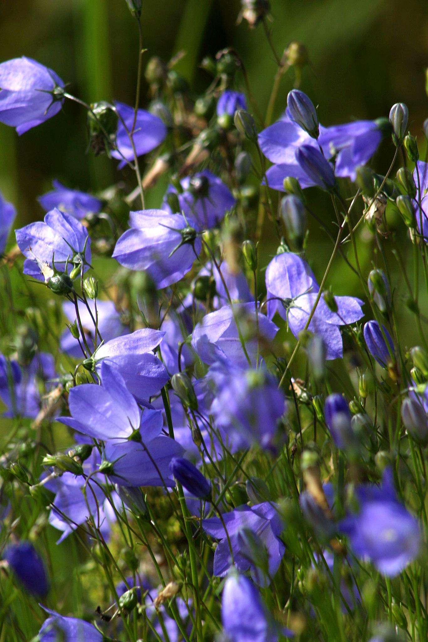 Bluebells by IR-FOTO