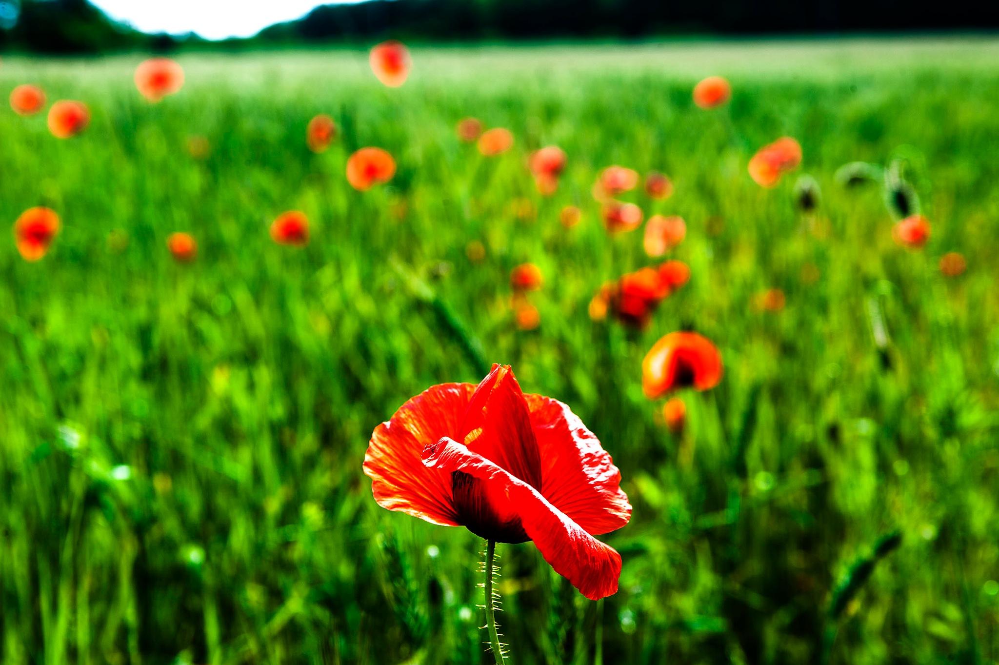 Poppieflowers by IR-FOTO