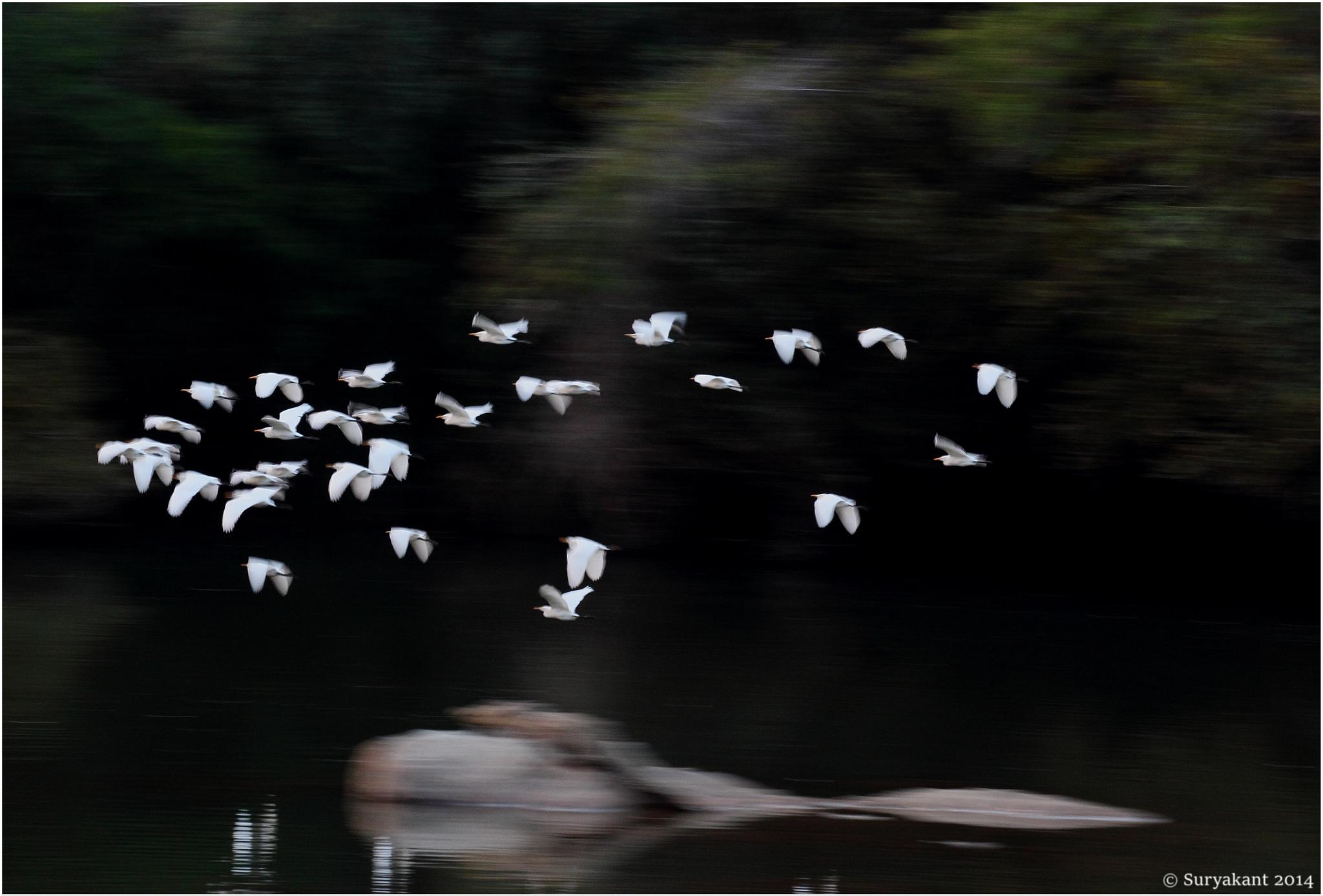 Panning|Egrets in Flight by Suryakant A Sajjan
