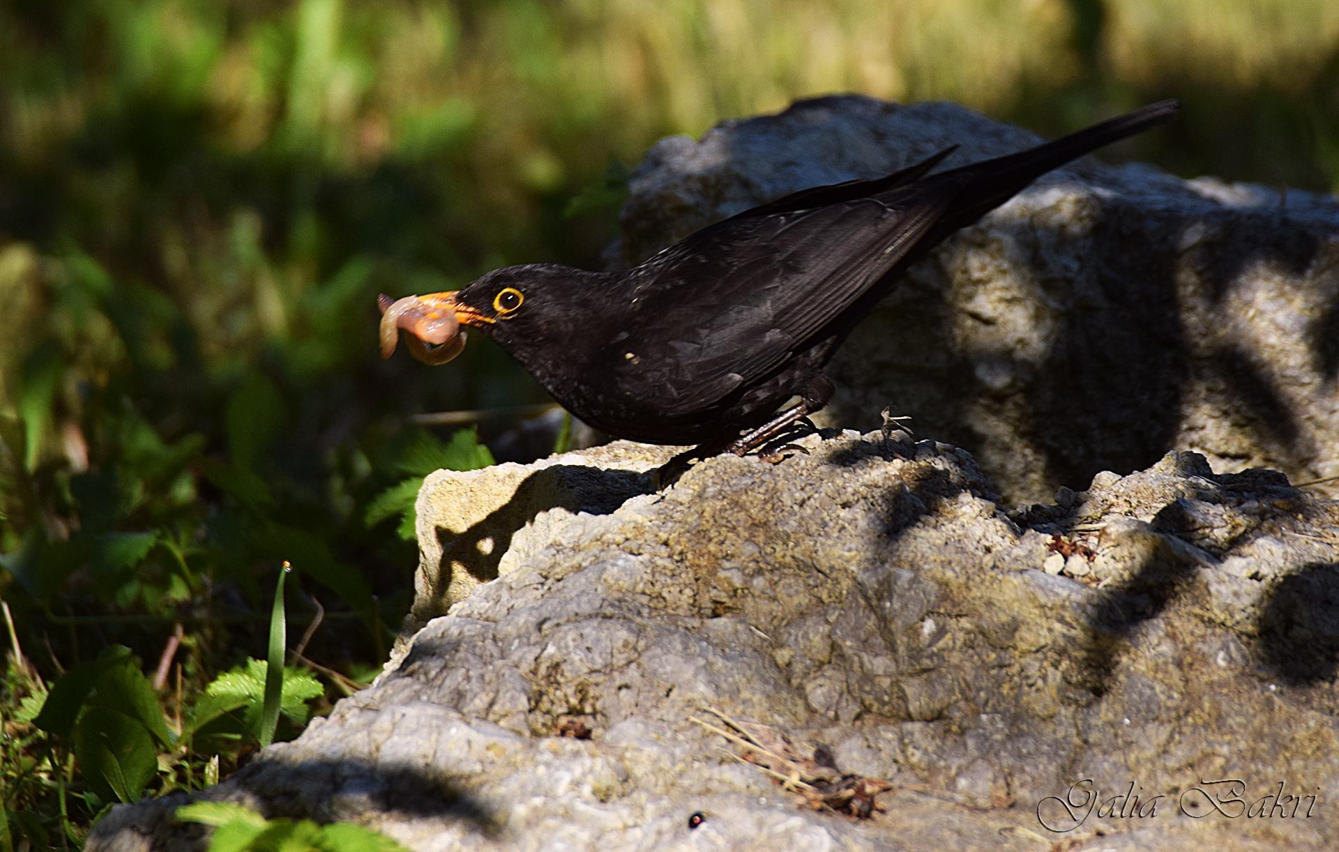 Blackbird  (Turdus merula) Кос by Galia Bakri