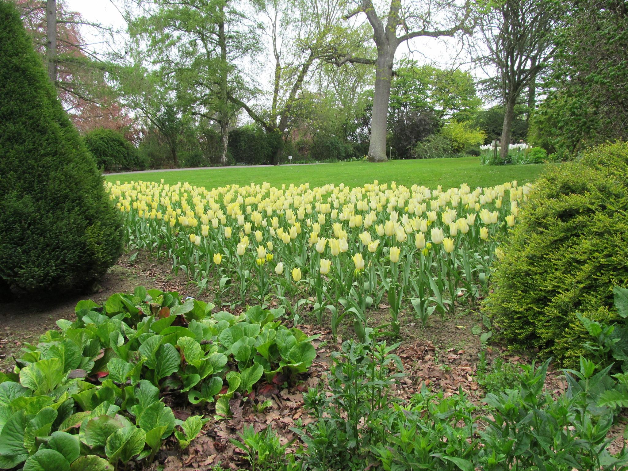 Yellow tulips by joan croll