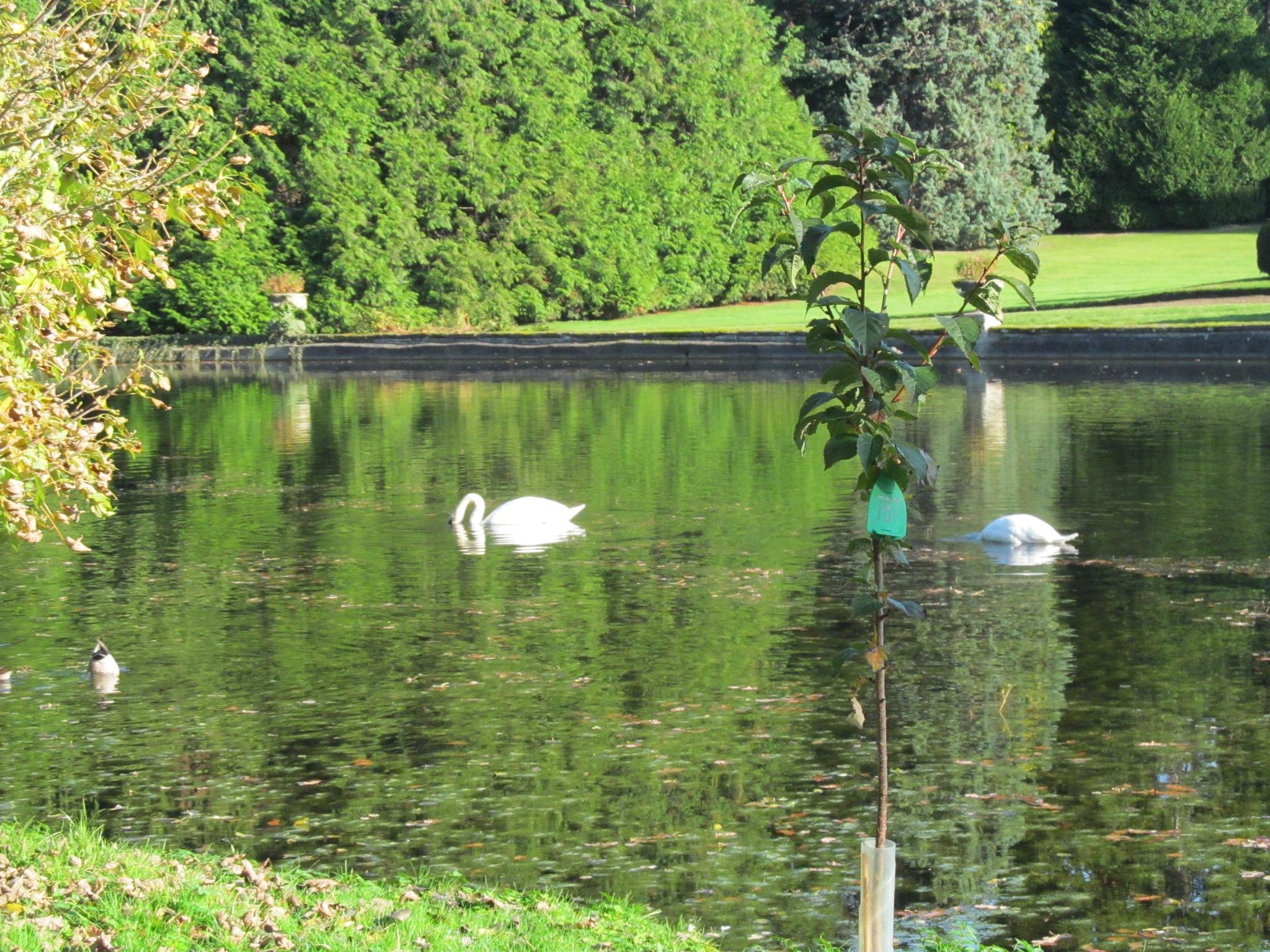 Swans by joan croll