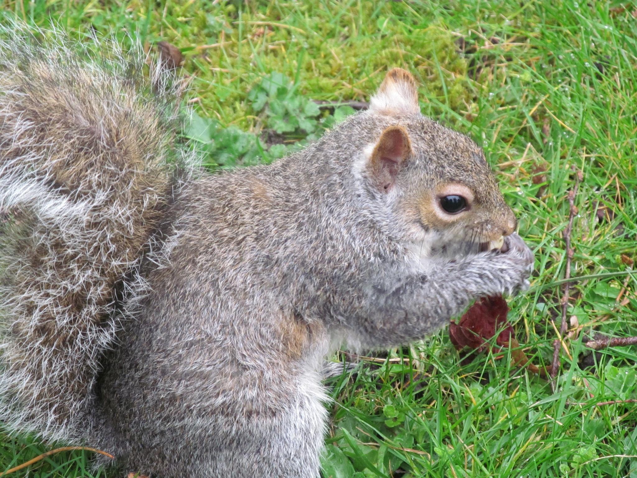Squirrel nutkin by joan croll