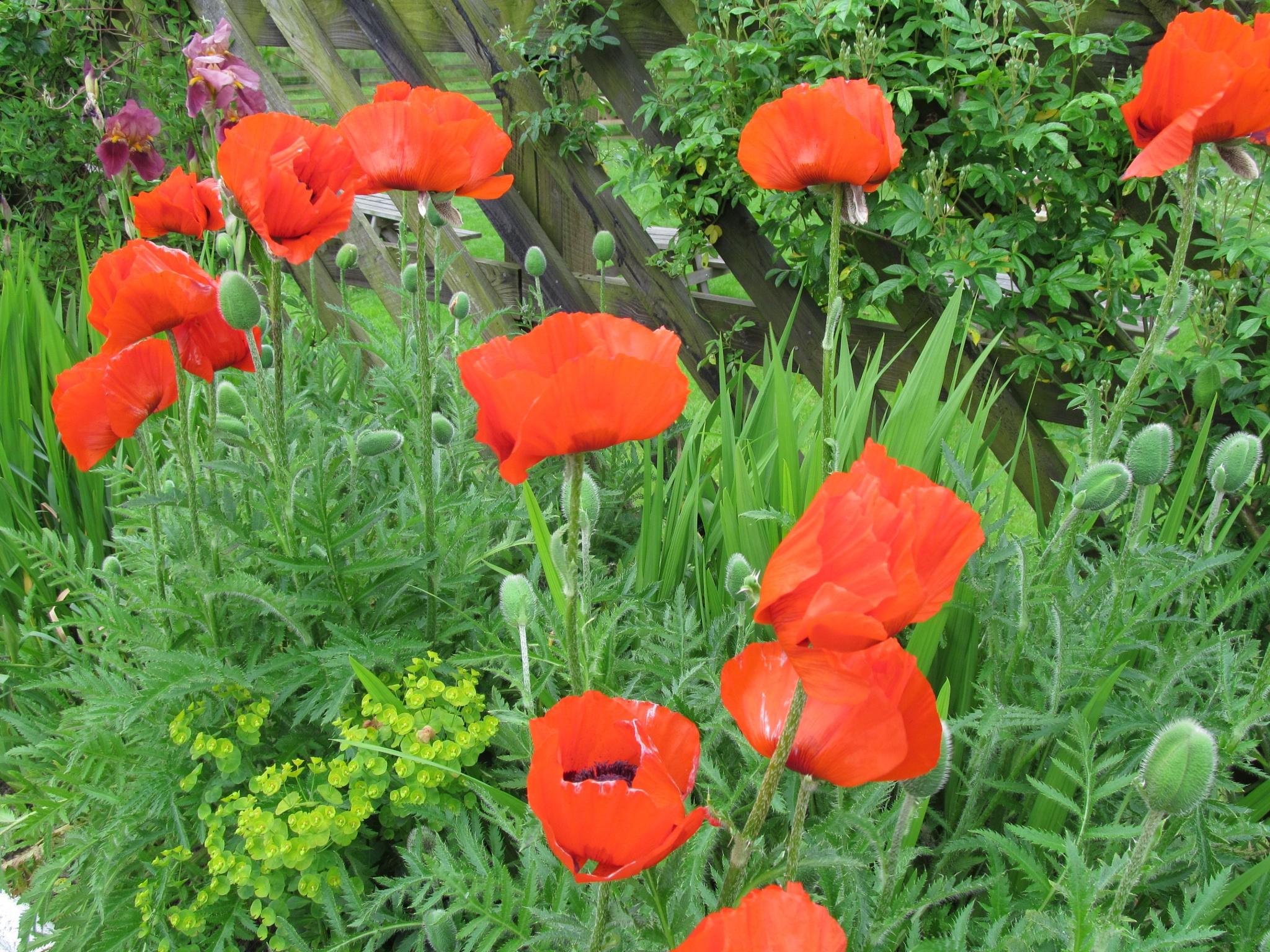 Poppies by joan croll
