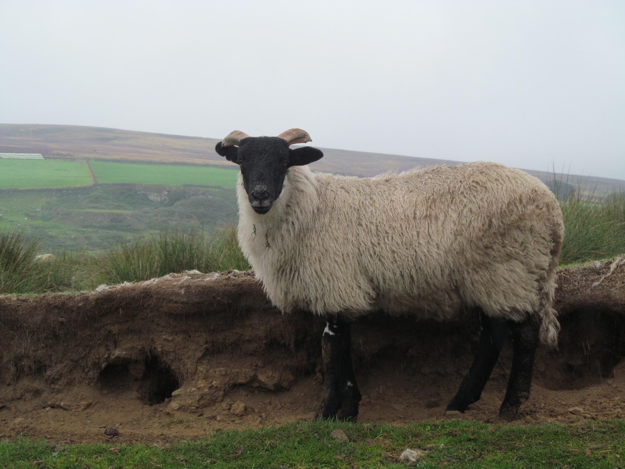 Sheep on the moors by joan croll