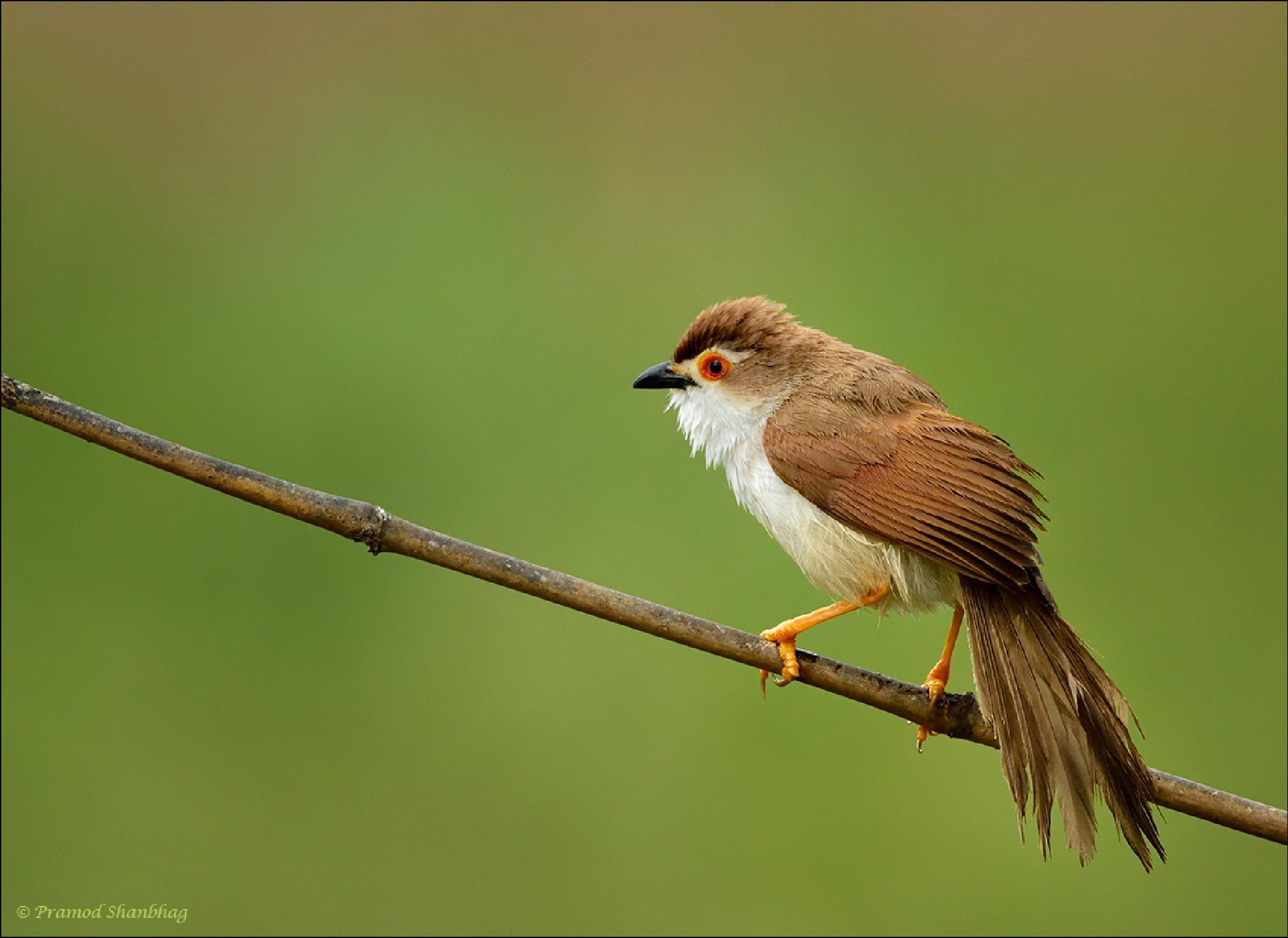 Yellow eyed Babbler. by Pramod Shanbhag