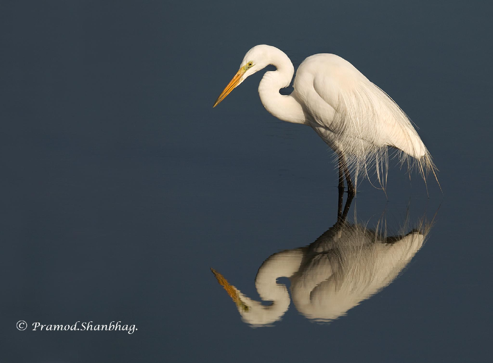 Great Egret by Pramod Shanbhag