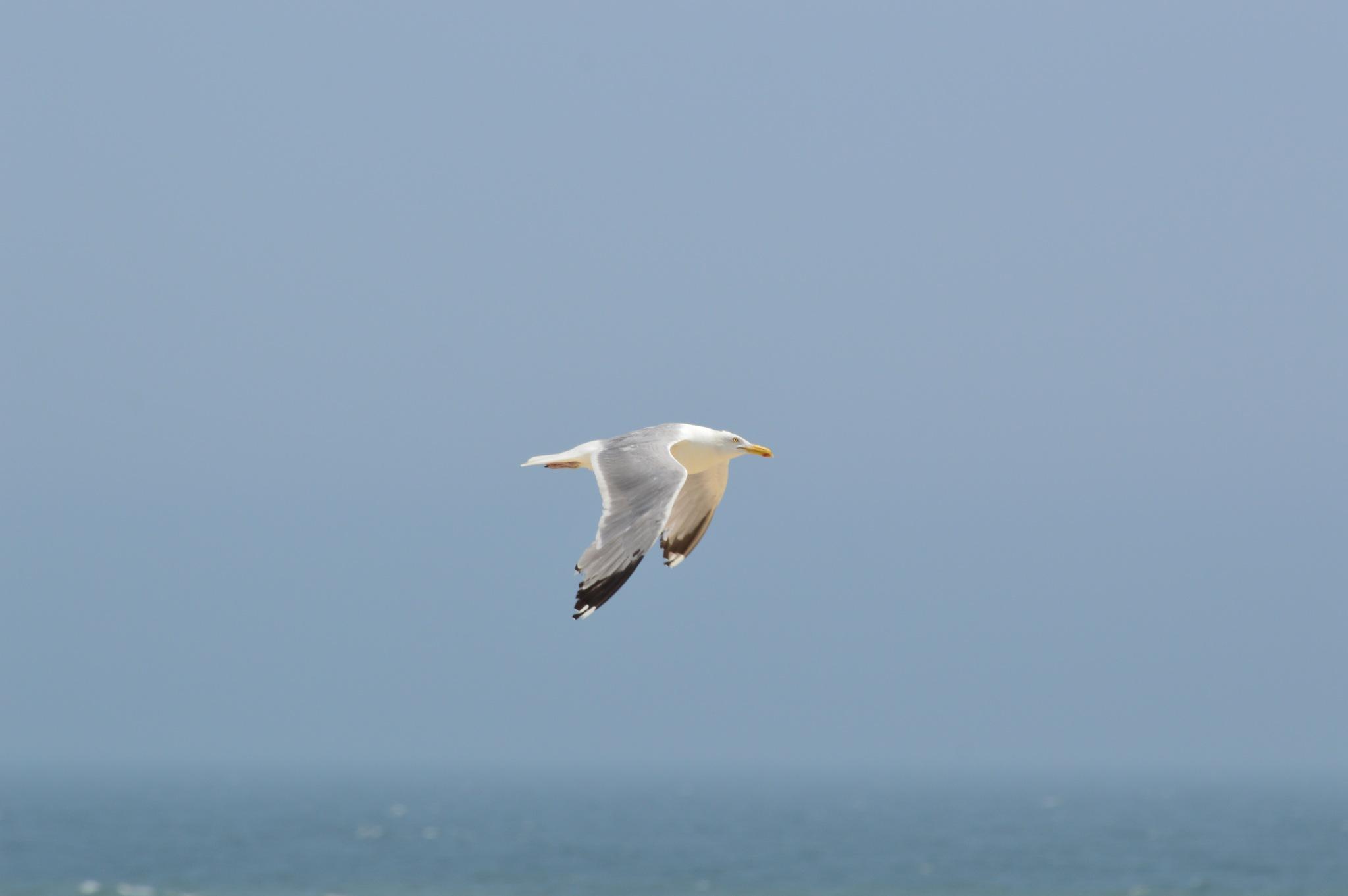 Ring-Billed Gull by ERock23