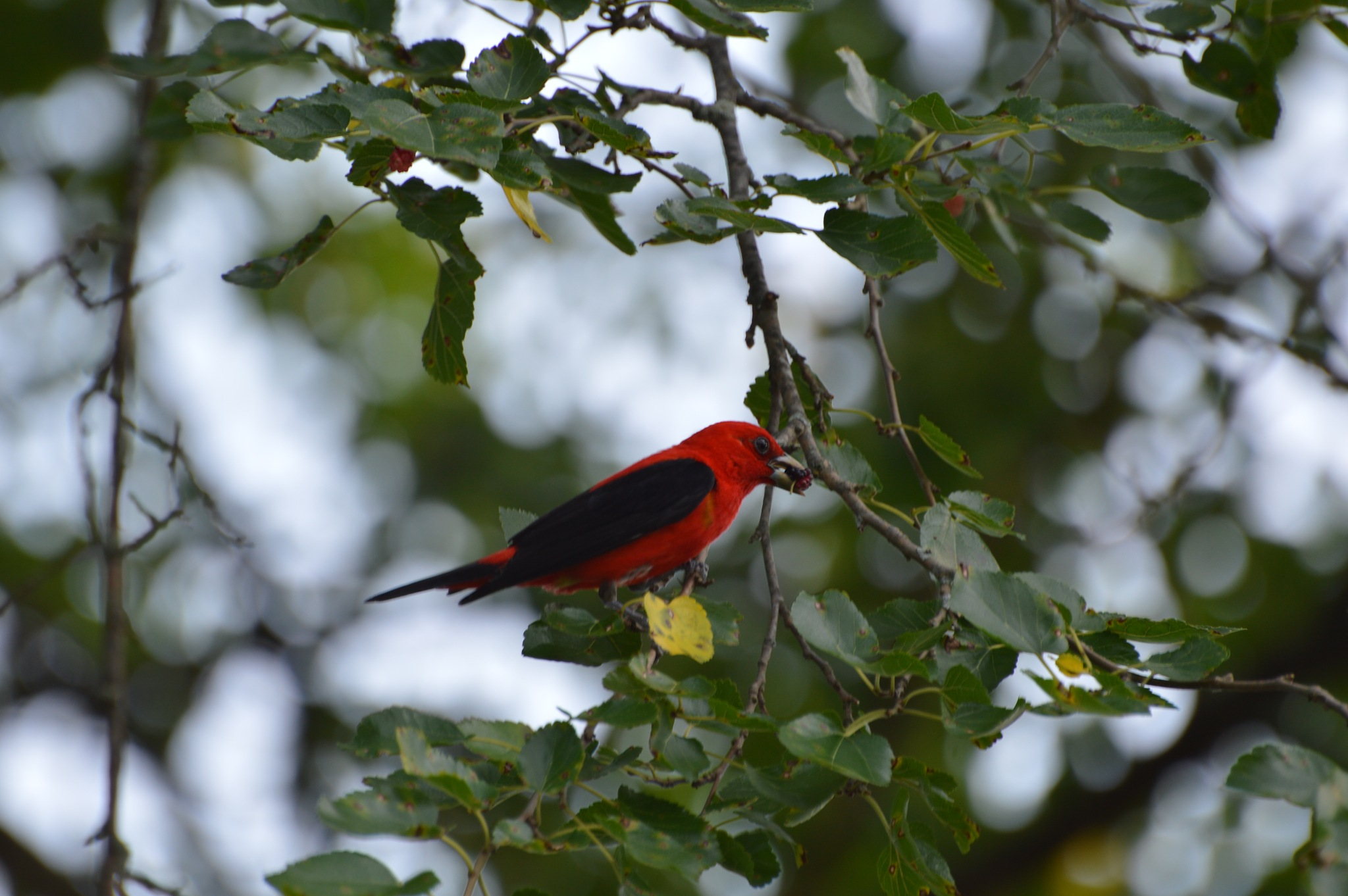 Scarlet Tanager by ERock23