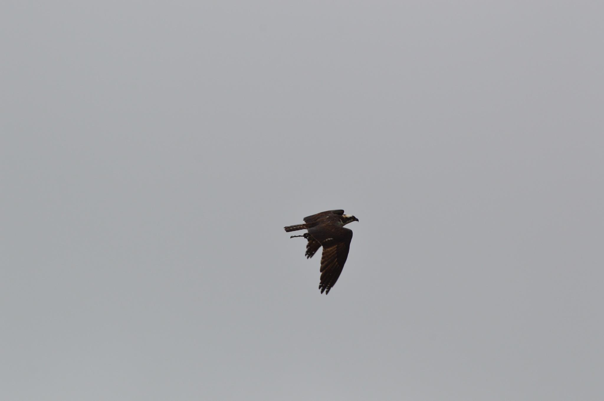 Osprey by ERock23