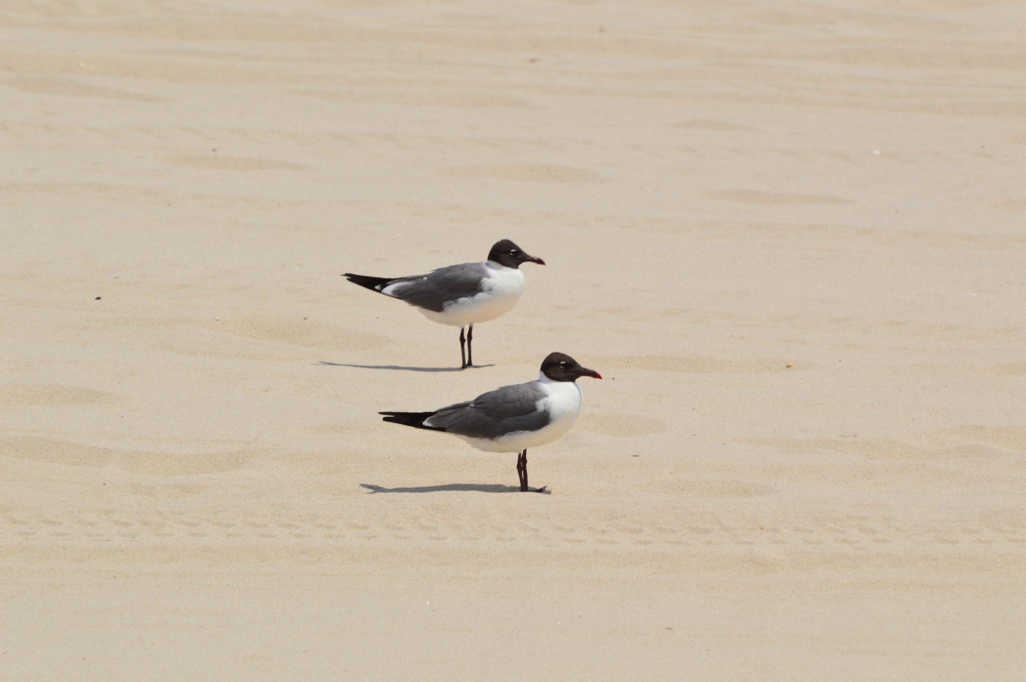 2 Black-Headed Gulls by ERock23