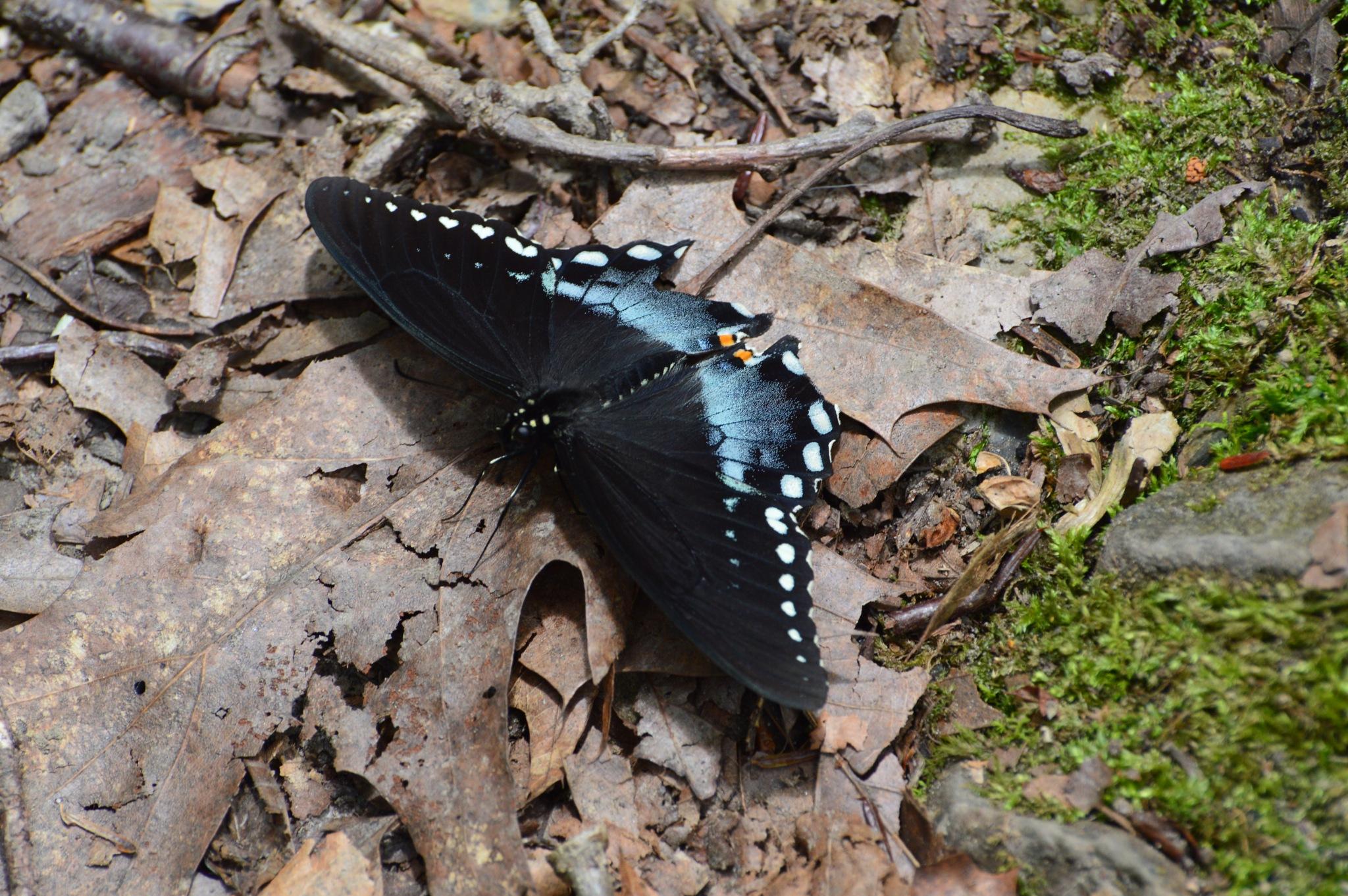 Swallowtail Butterfly by ERock23