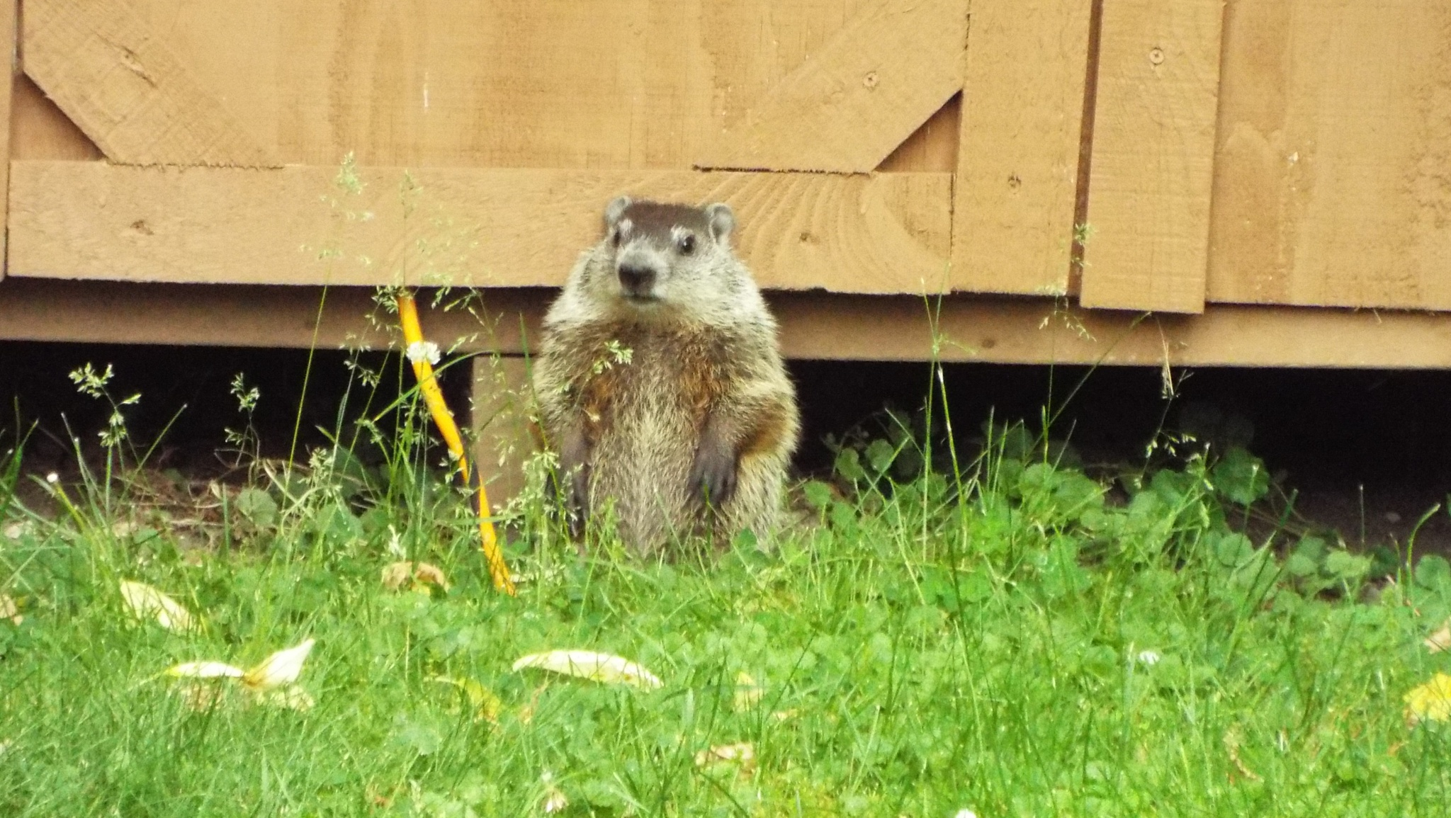 Young Groundhog. (Get my good side) by David F Cupp