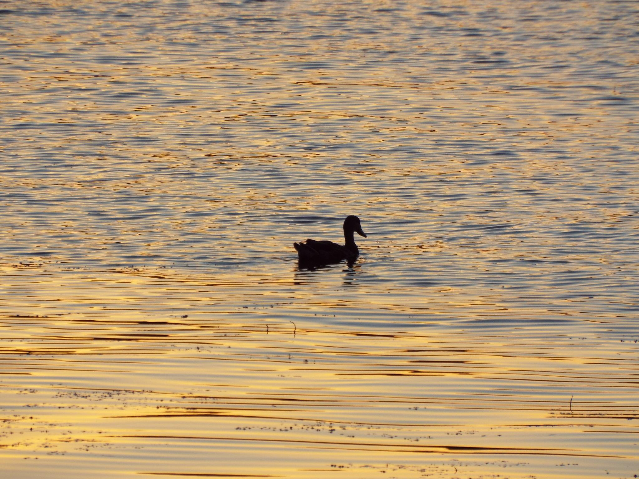 Duck on the water by David F Cupp