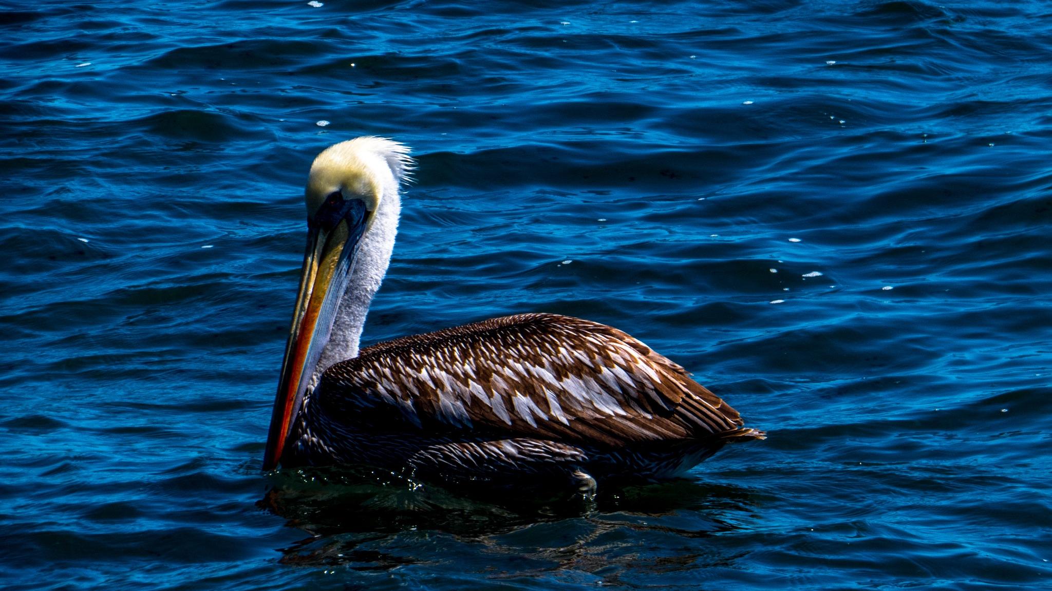 Pelicano by Jorge Antonio Garcia