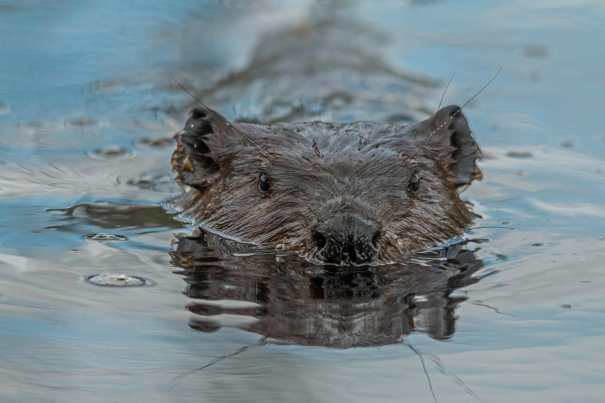 The Beaver by Steve Dunsford