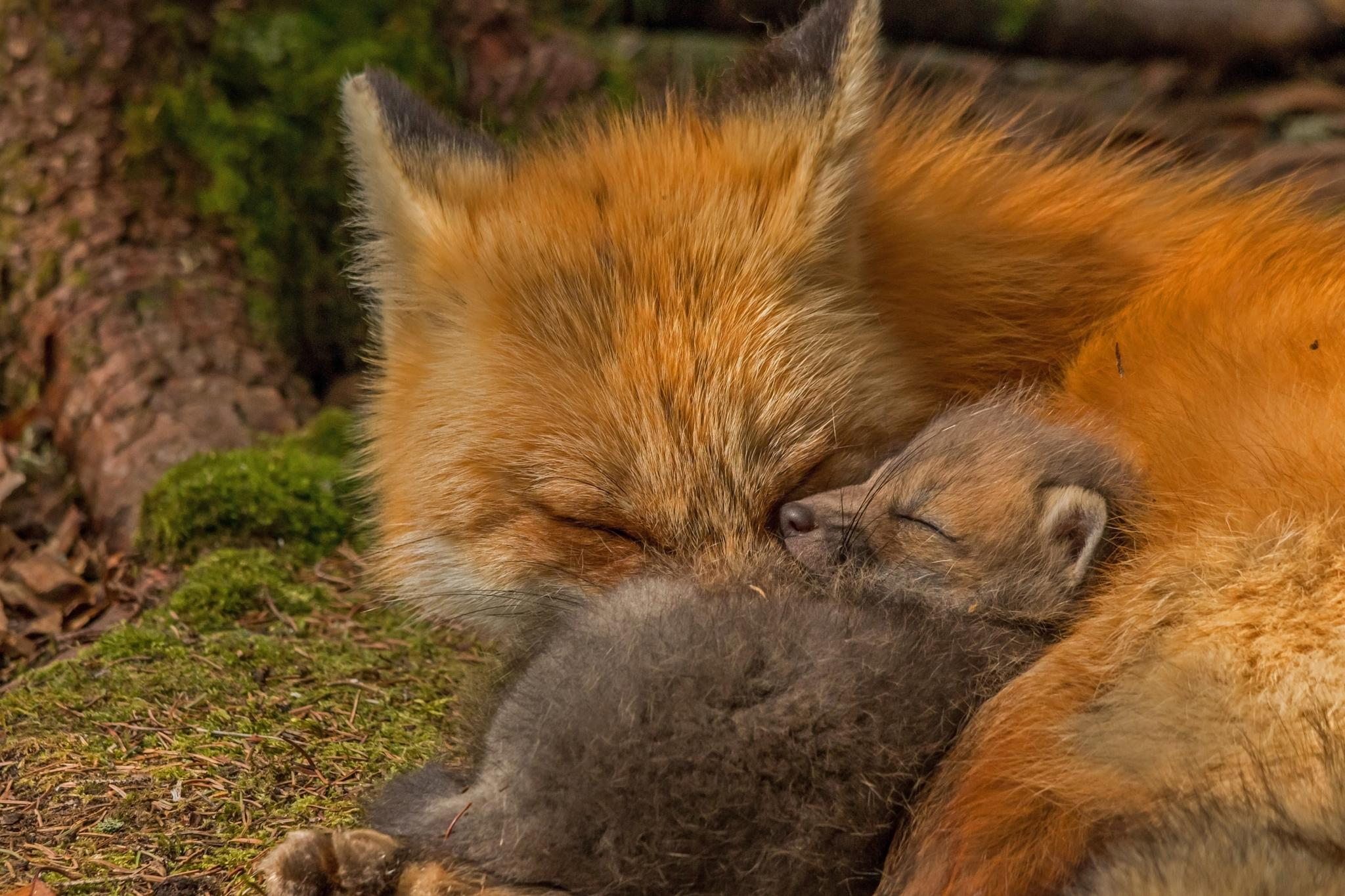 The Tired Foxes by Steve Dunsford