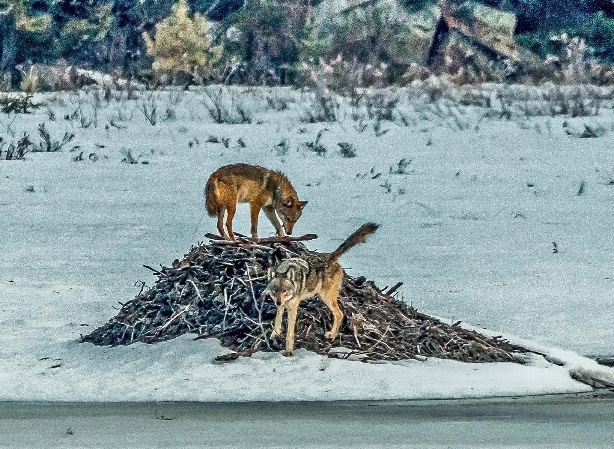 Eastern Wolves by Steve Dunsford