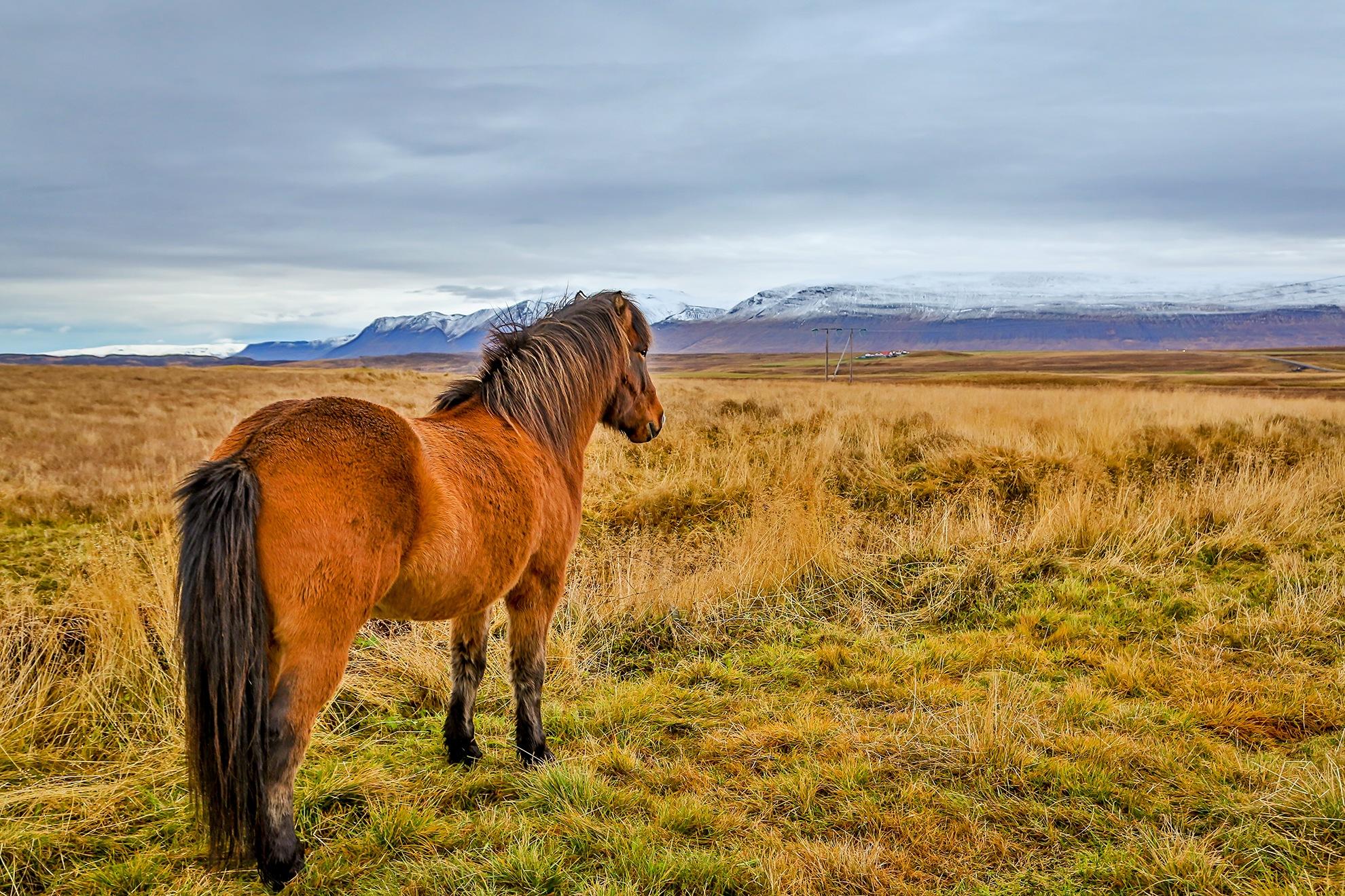 Icelandic Horse by Steve Dunsford