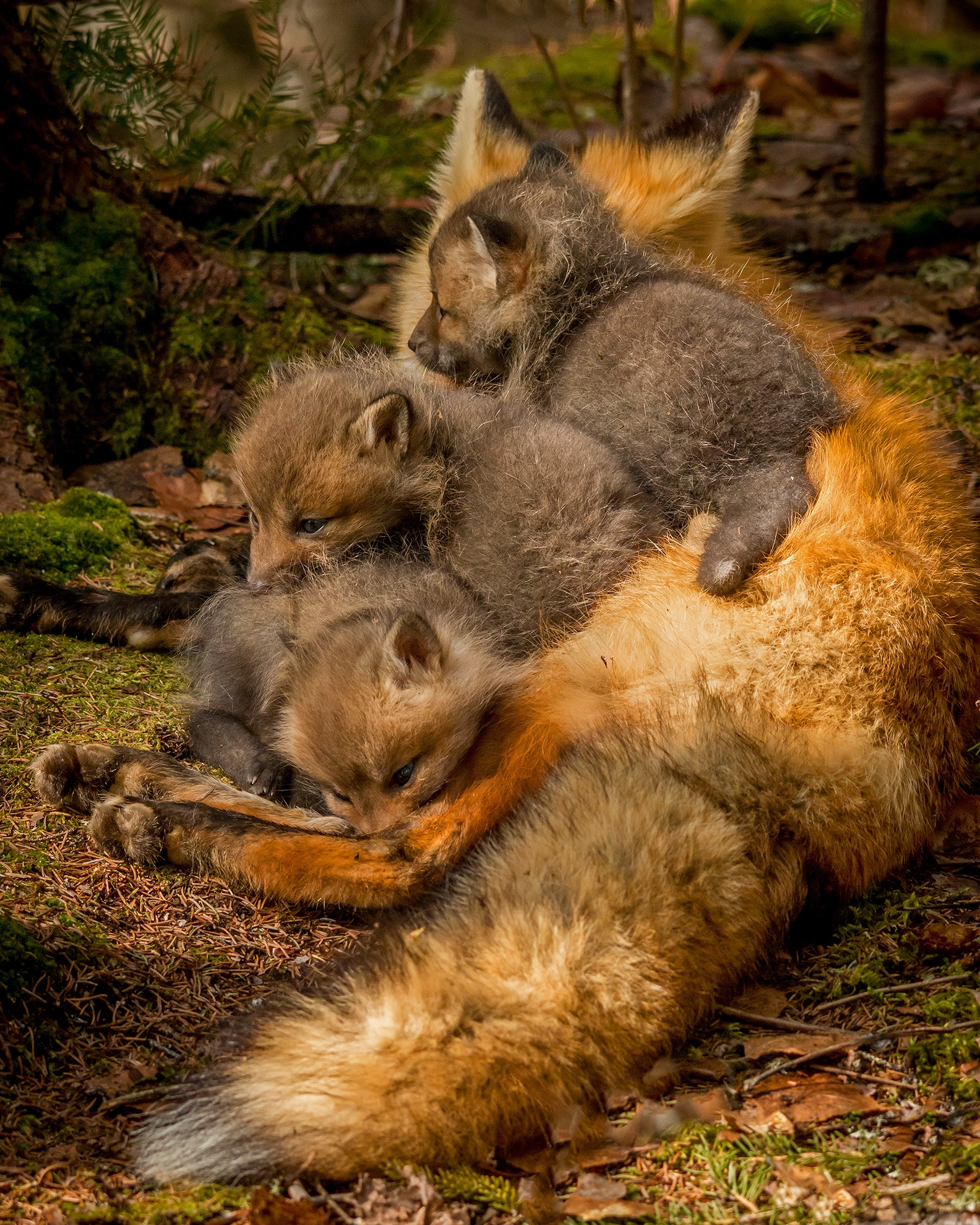 Mother Fox and Kits by Steve Dunsford