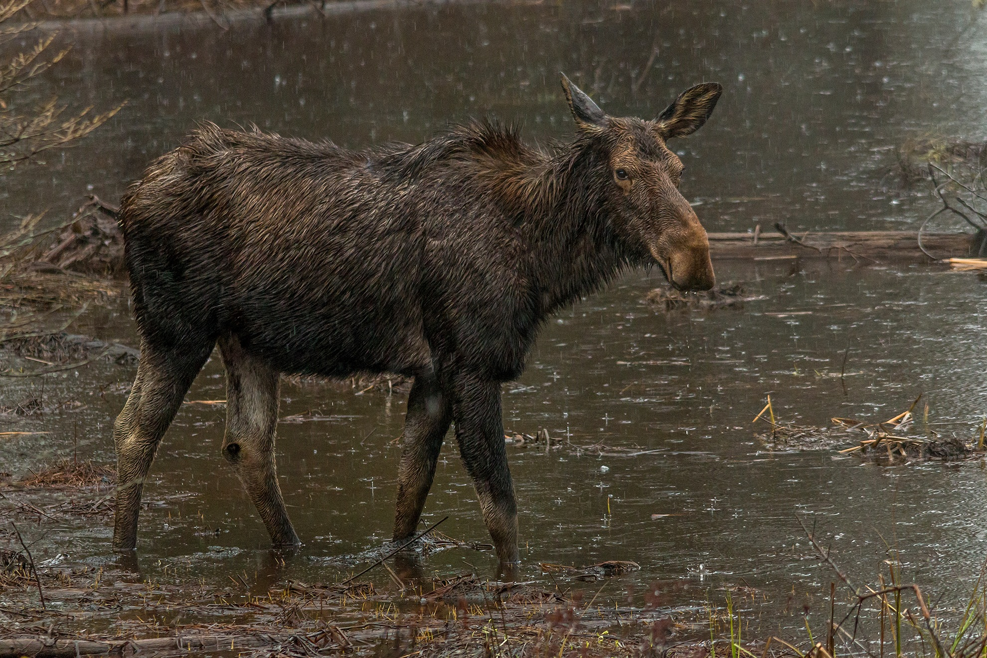 Rainy Day Moose by Steve Dunsford