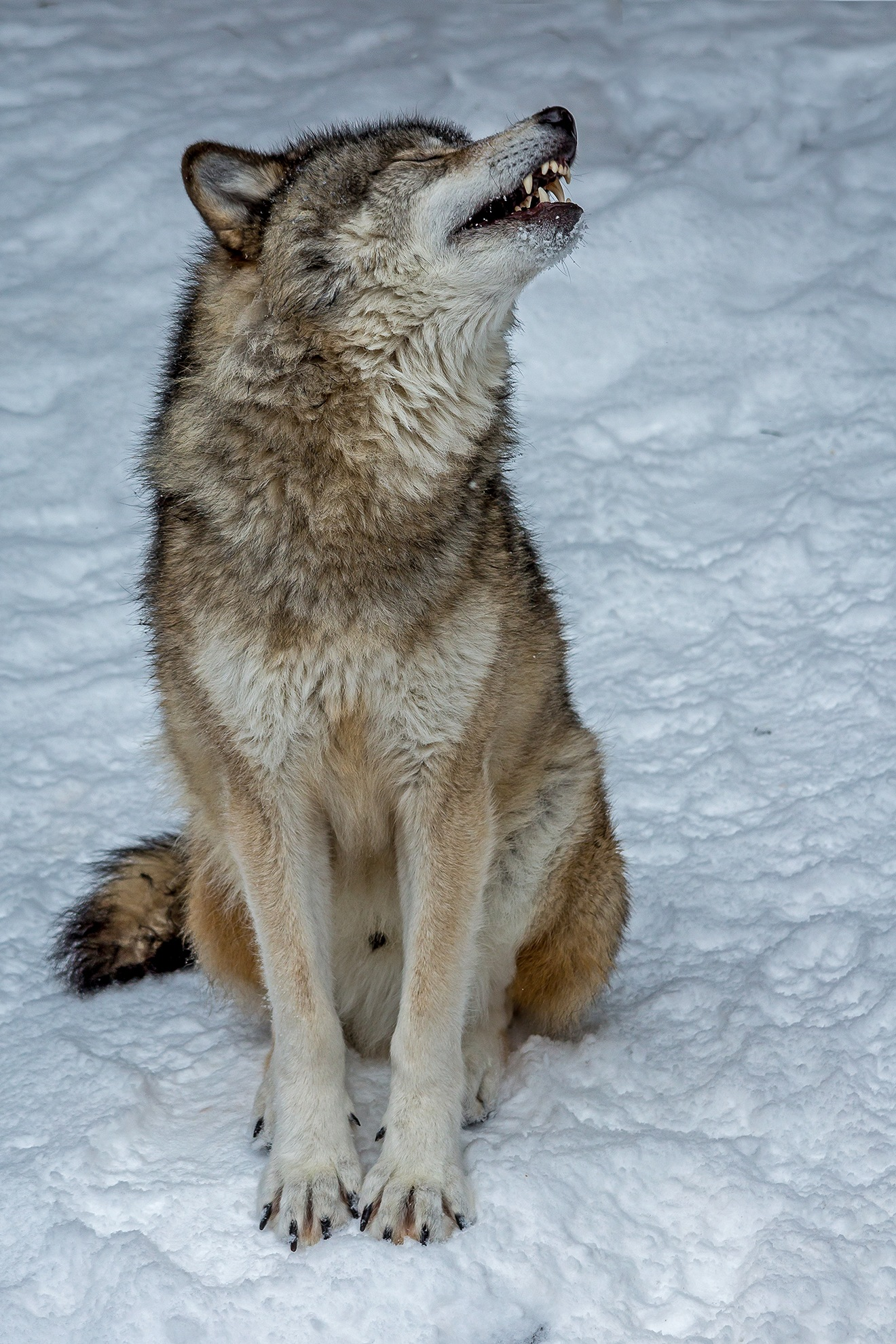 Grey Wolf by Steve Dunsford