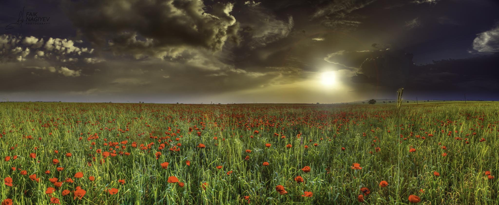 Poppy Field in Sunset by Faik Nagiyev