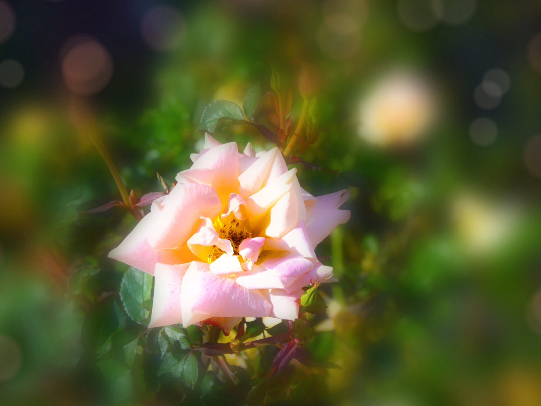 The rose and The Sun  by Diana