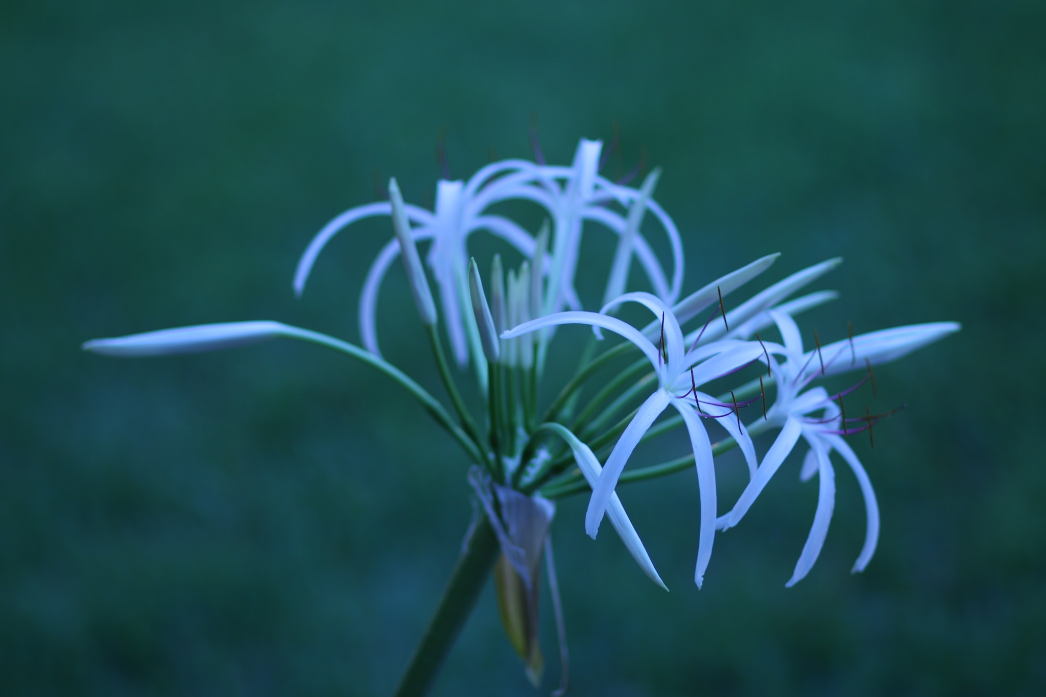 White Flower by richardrumana