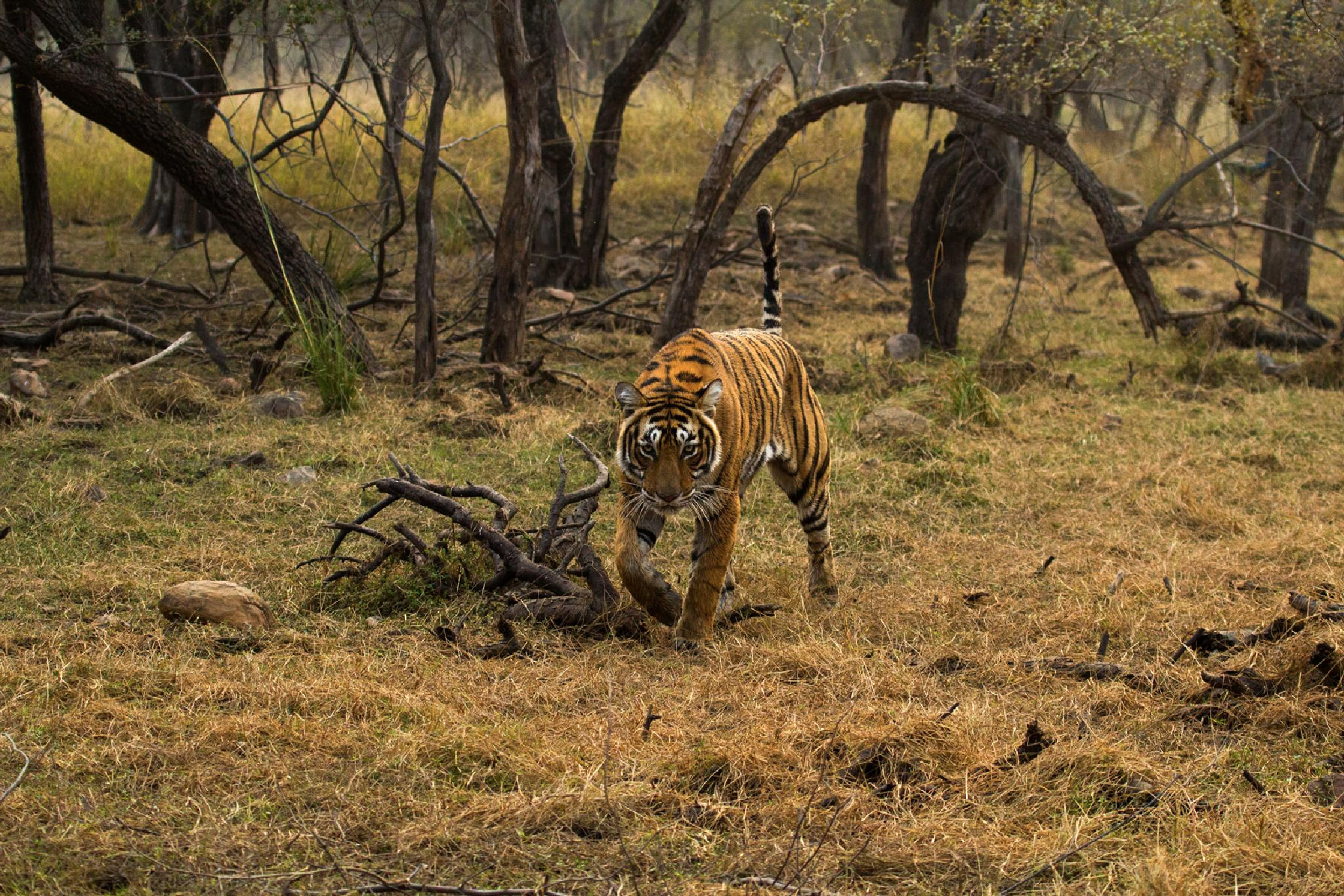 Tigress T19 aka Krishna at Ranthambore National Park, India by Abhijeet Sawant