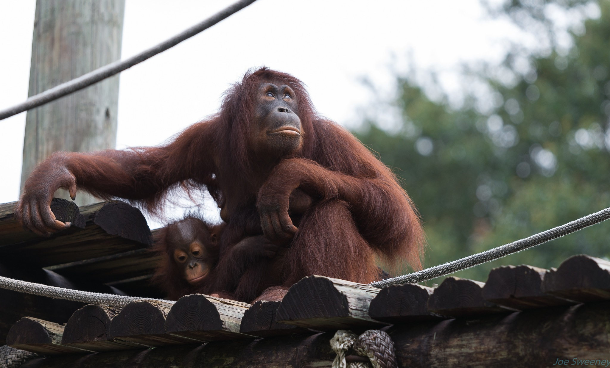Orangutans at Lowry Park Zoo by Joe Bike