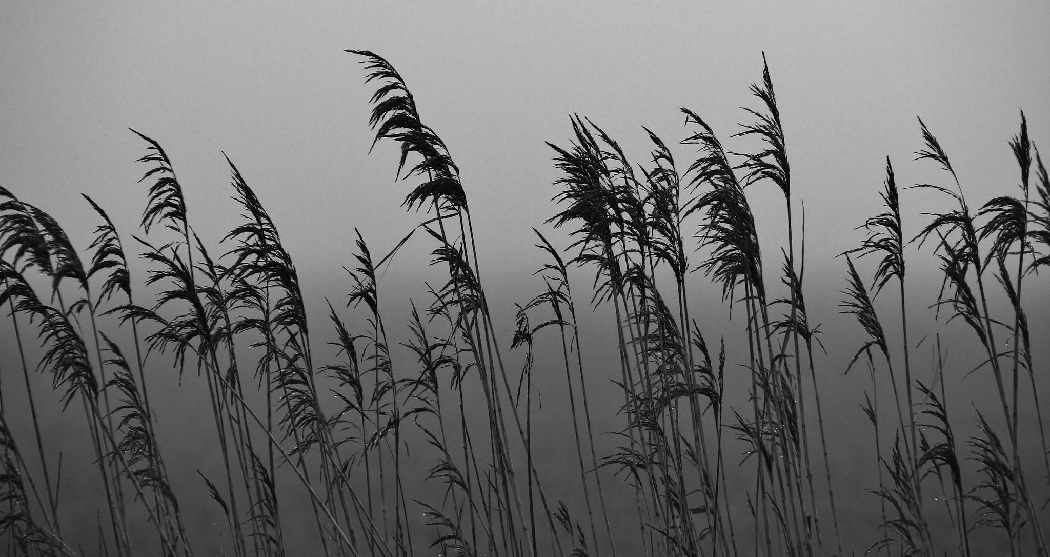 Rain in the Rushes by David N Cath Pinkett