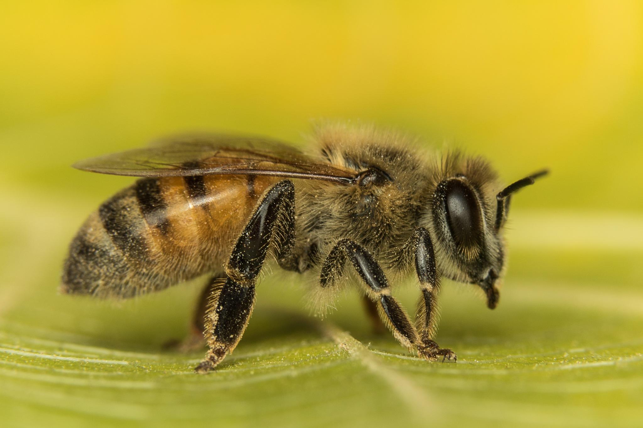 Honey bee by ALSMADI AHMAD