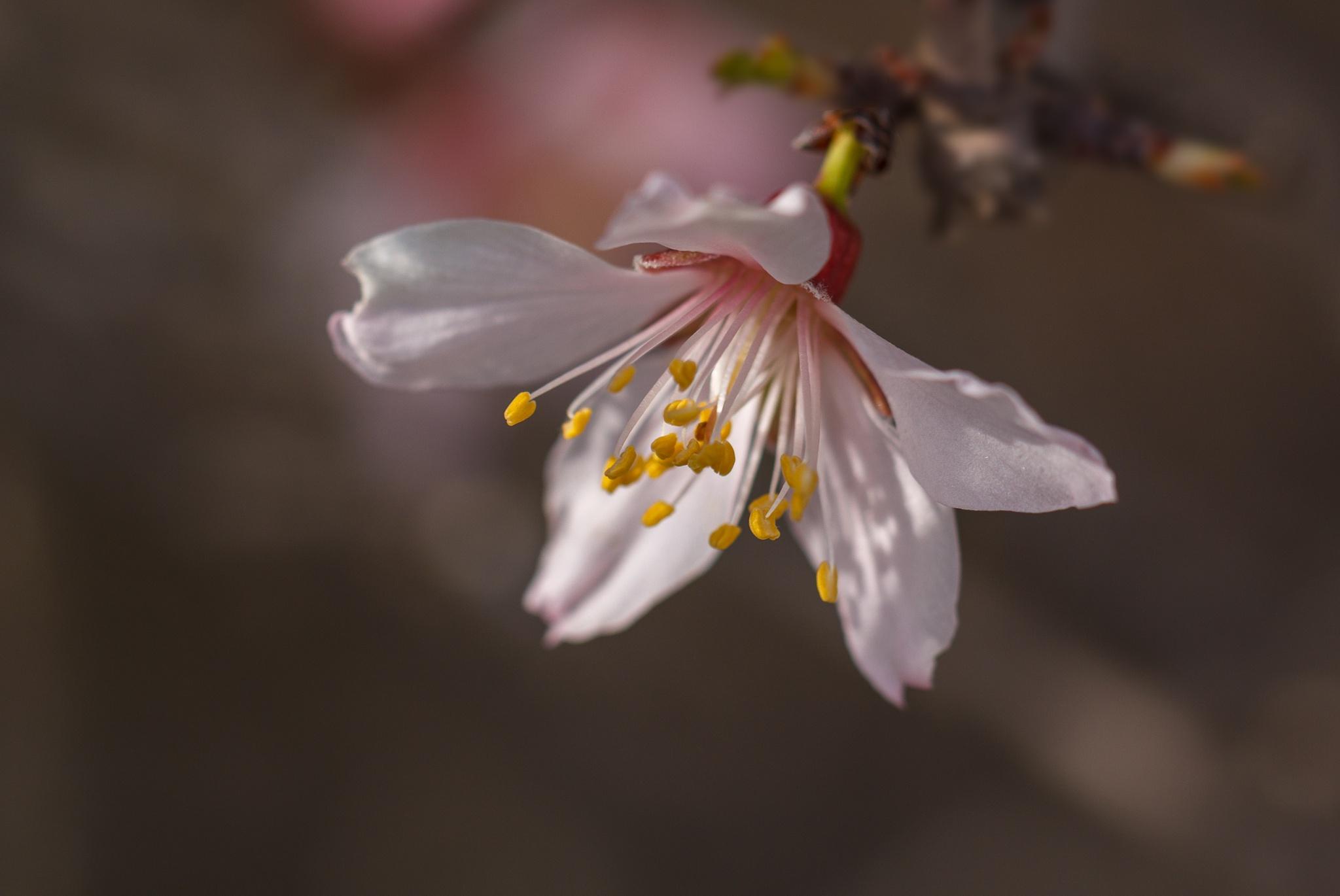 Almond Blossom by ALSMADI AHMAD