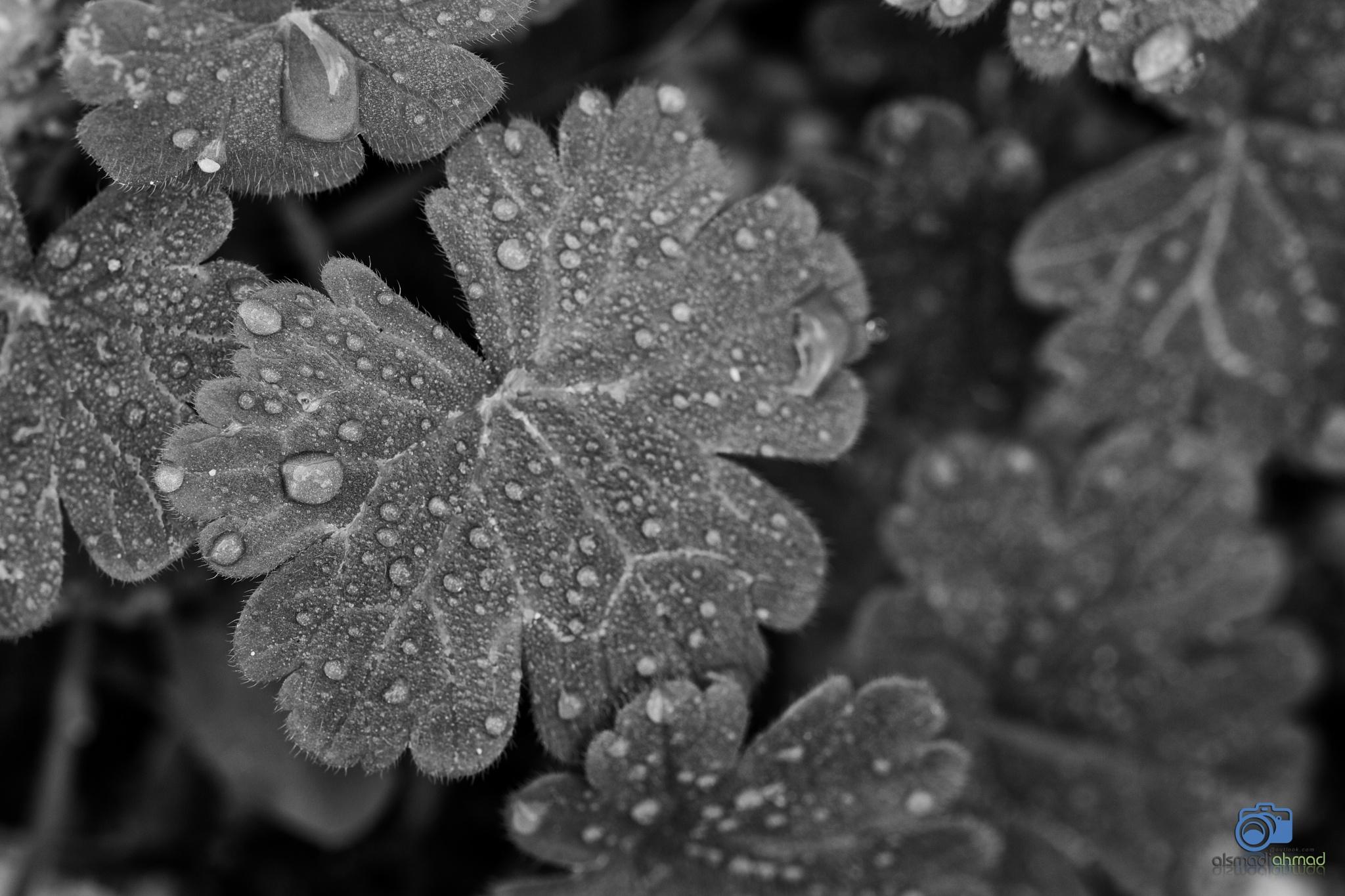 Dew drops by ALSMADI AHMAD