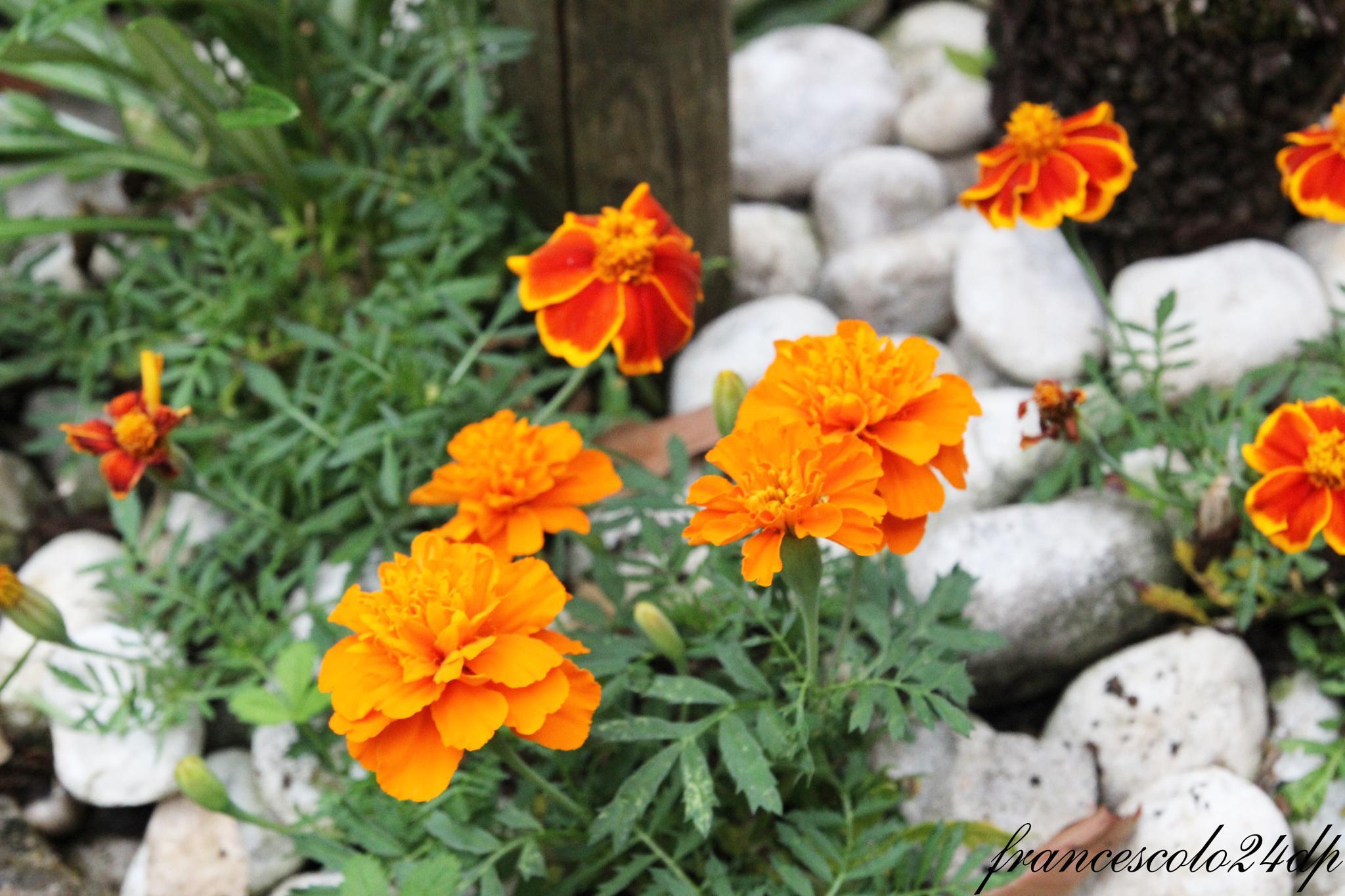 orange flowers by Francesco Dal Poz