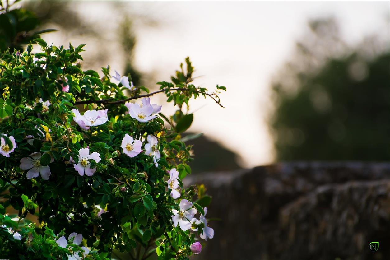 اخر الربيع 2 .... by Nasser al Annabi