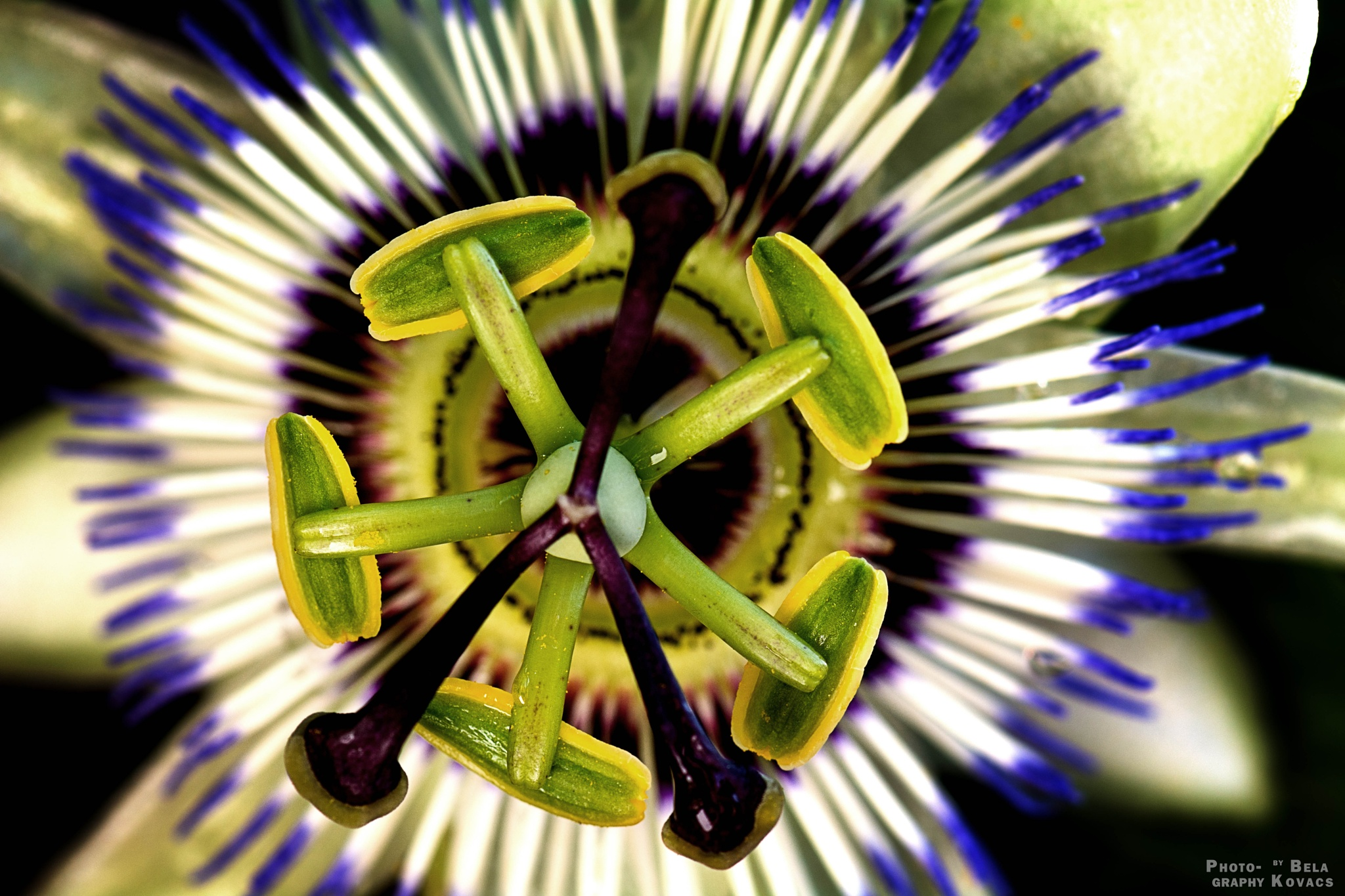 Blue passion flower by Bela Kovacs
