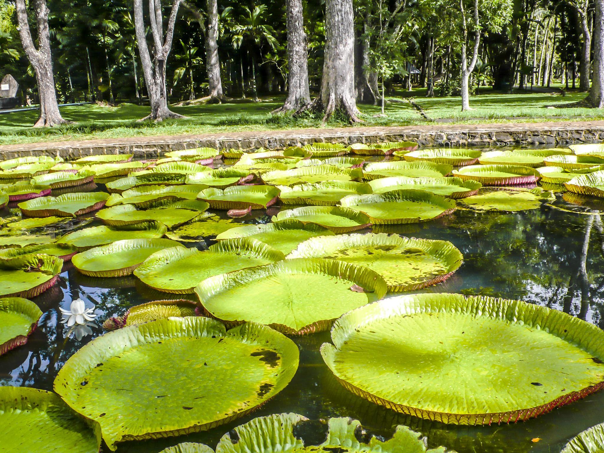 Brazillian Lillies by JanetFernandes