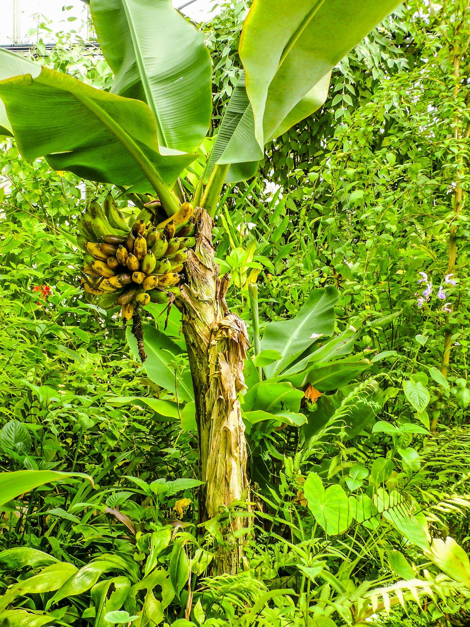 Banana tree with ripe bananas by JanetFernandes