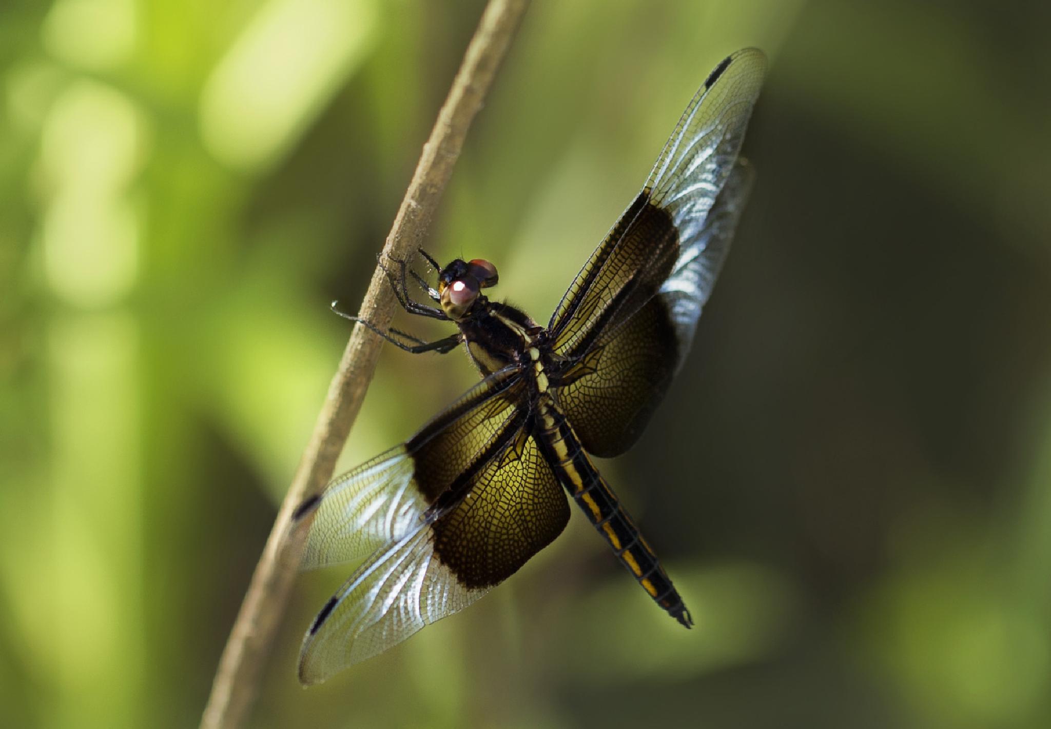 Dragonfly by IdaBurress
