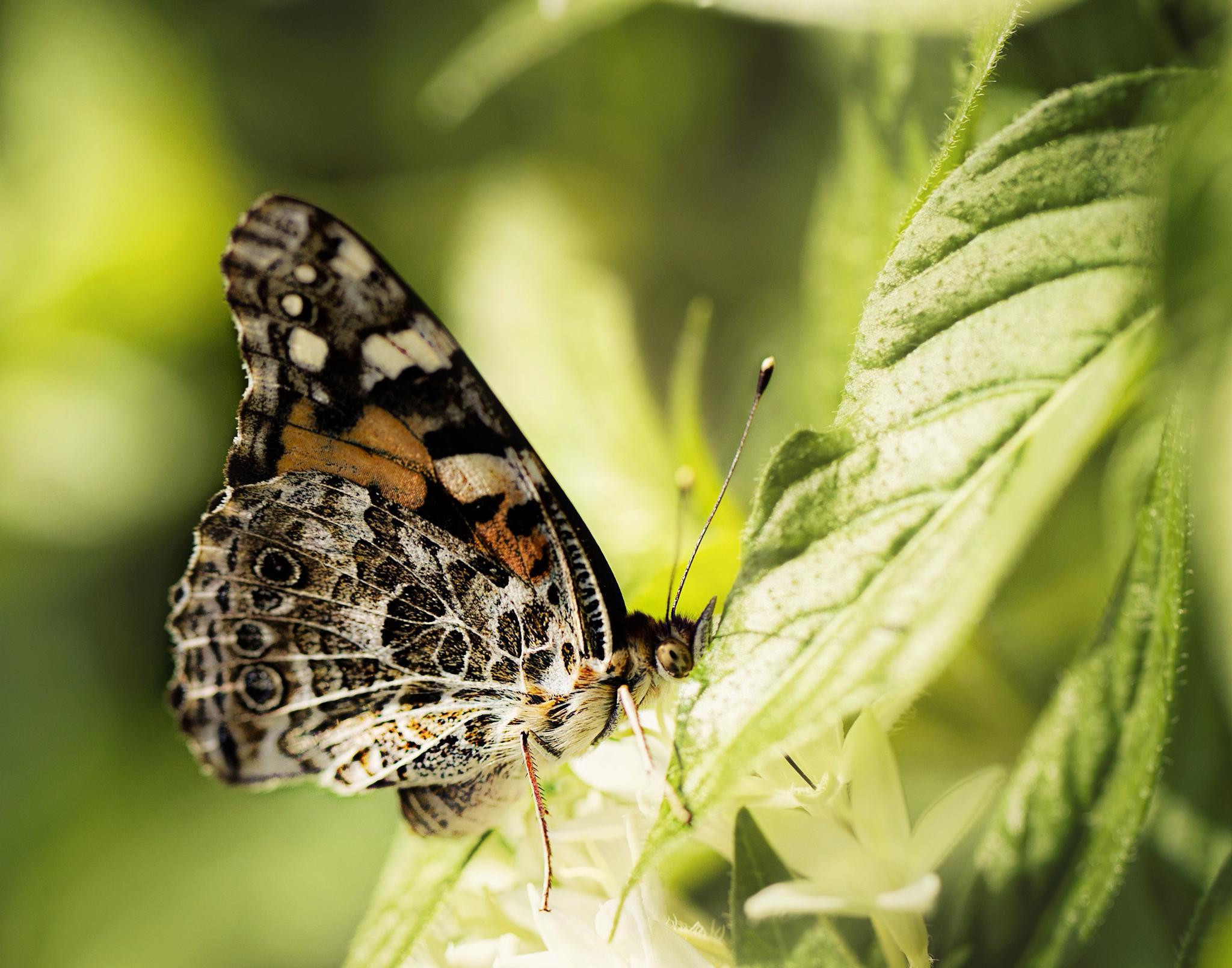 Butterfly by IdaBurress